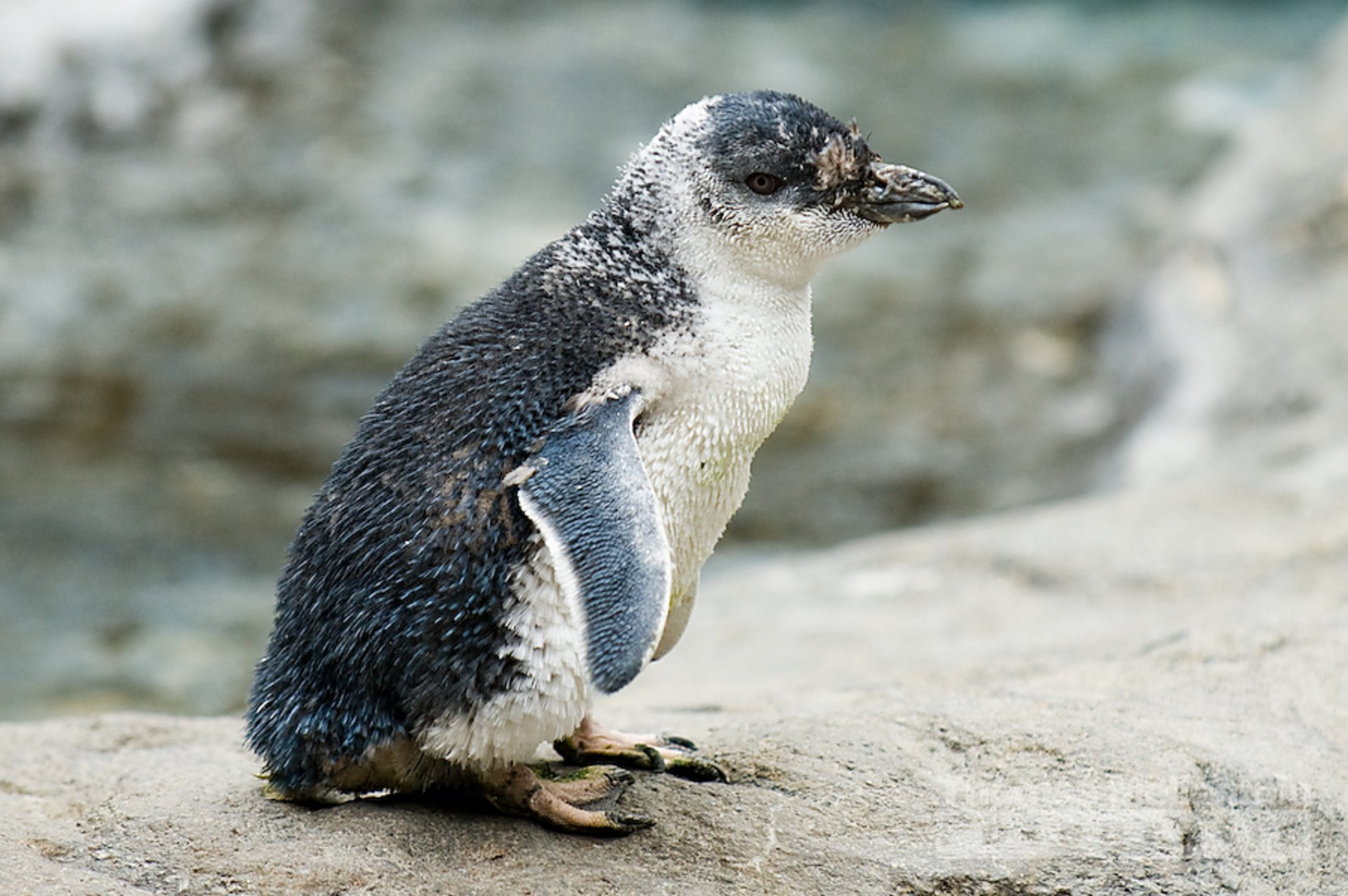 Kororā (Little Penguin) Breeding Season in New Zealand 2019 - Best Time