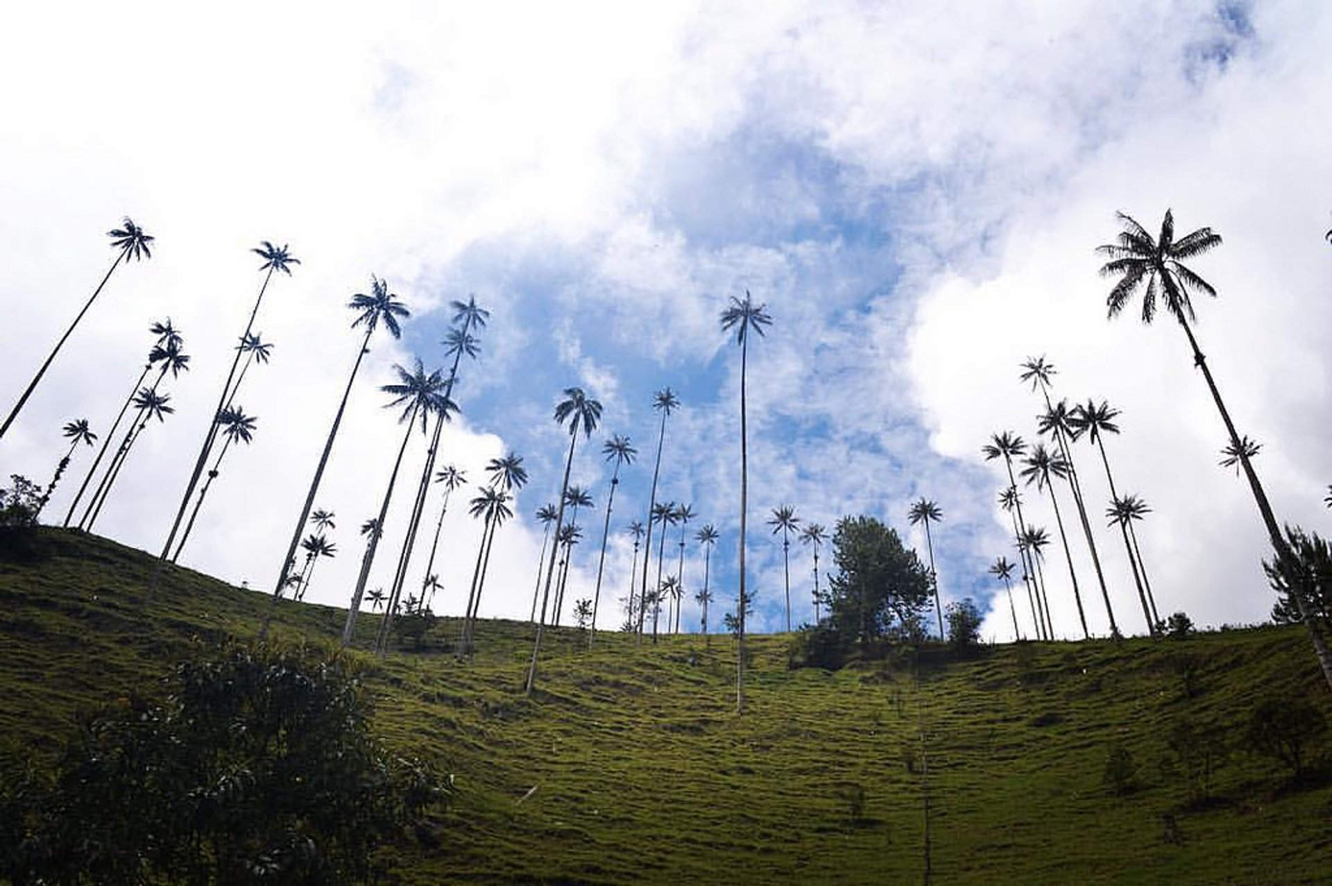 Wax palms in the Cocora Valley 2020