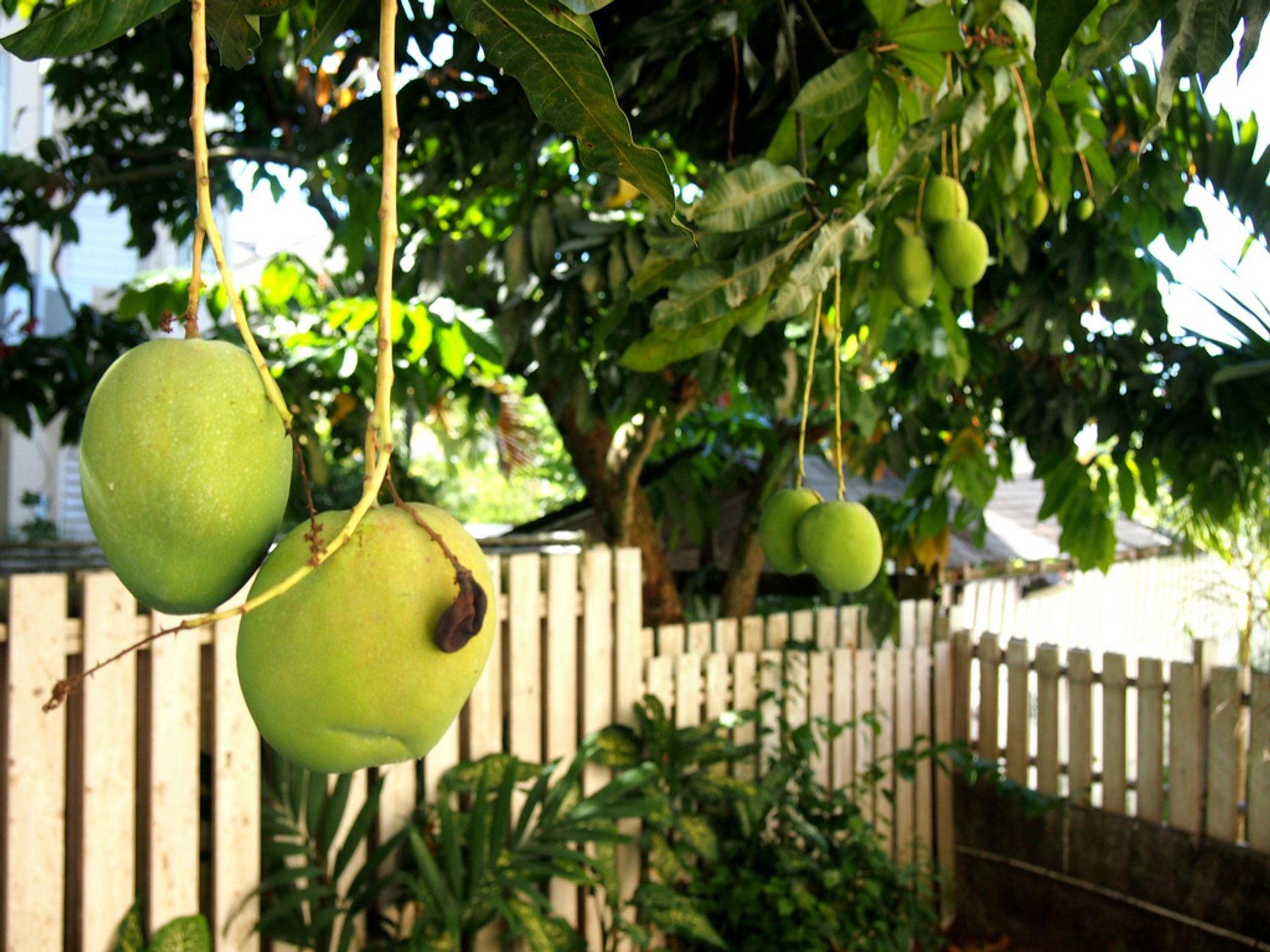 Mango Season  in Jamaica 2020 - Best Time