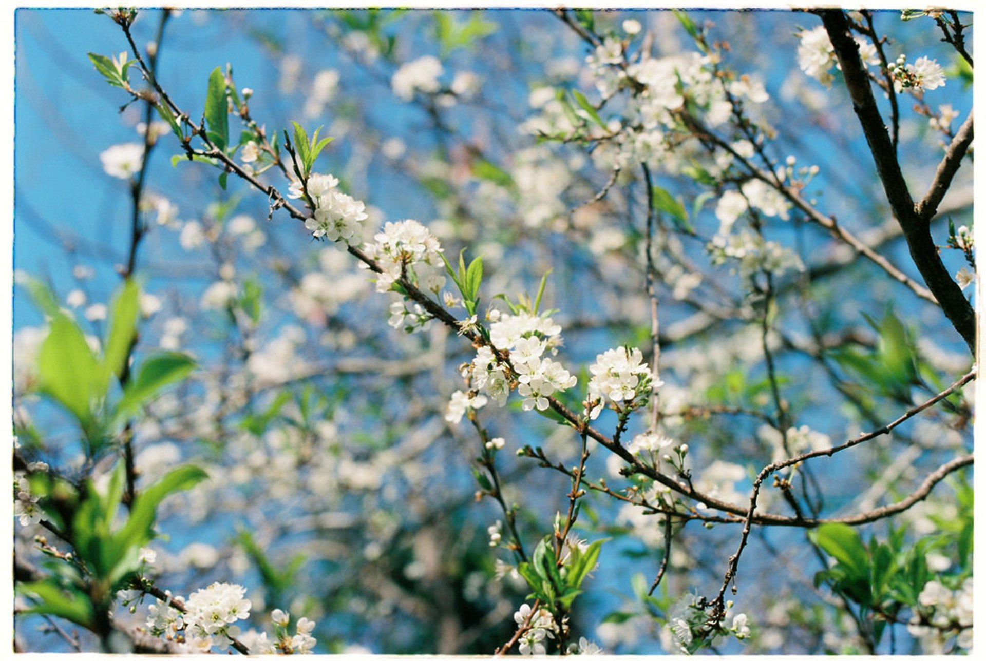 Best time for Plum Blossom Season in Vietnam