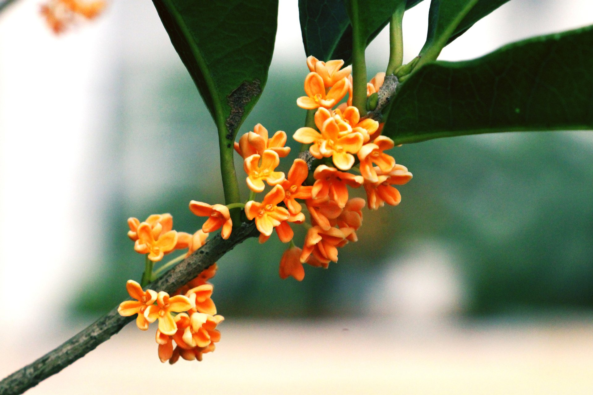 Best time for Sweet Osmanthus in Bloom in China 2020