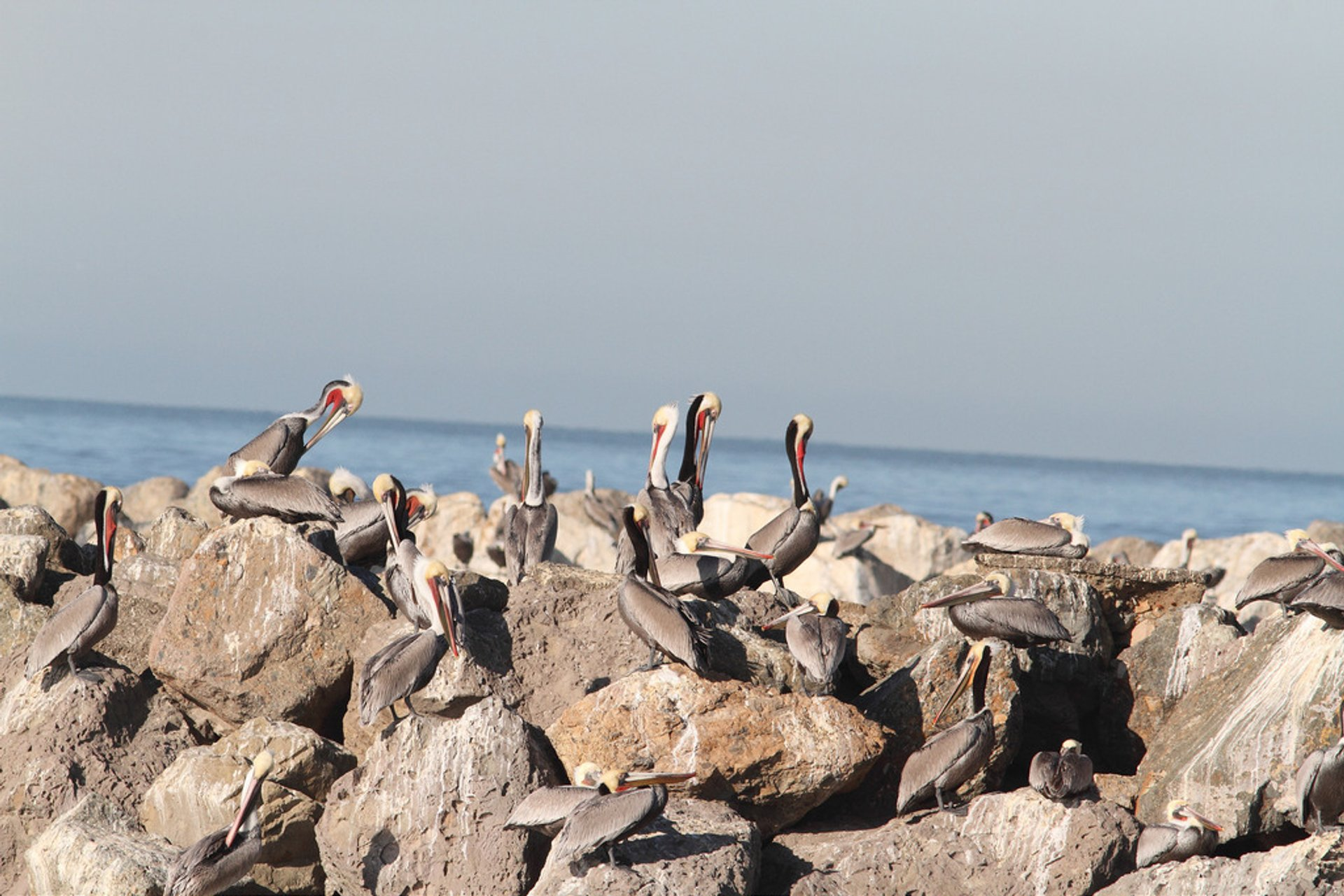 Best time for Brown Pelicans in California