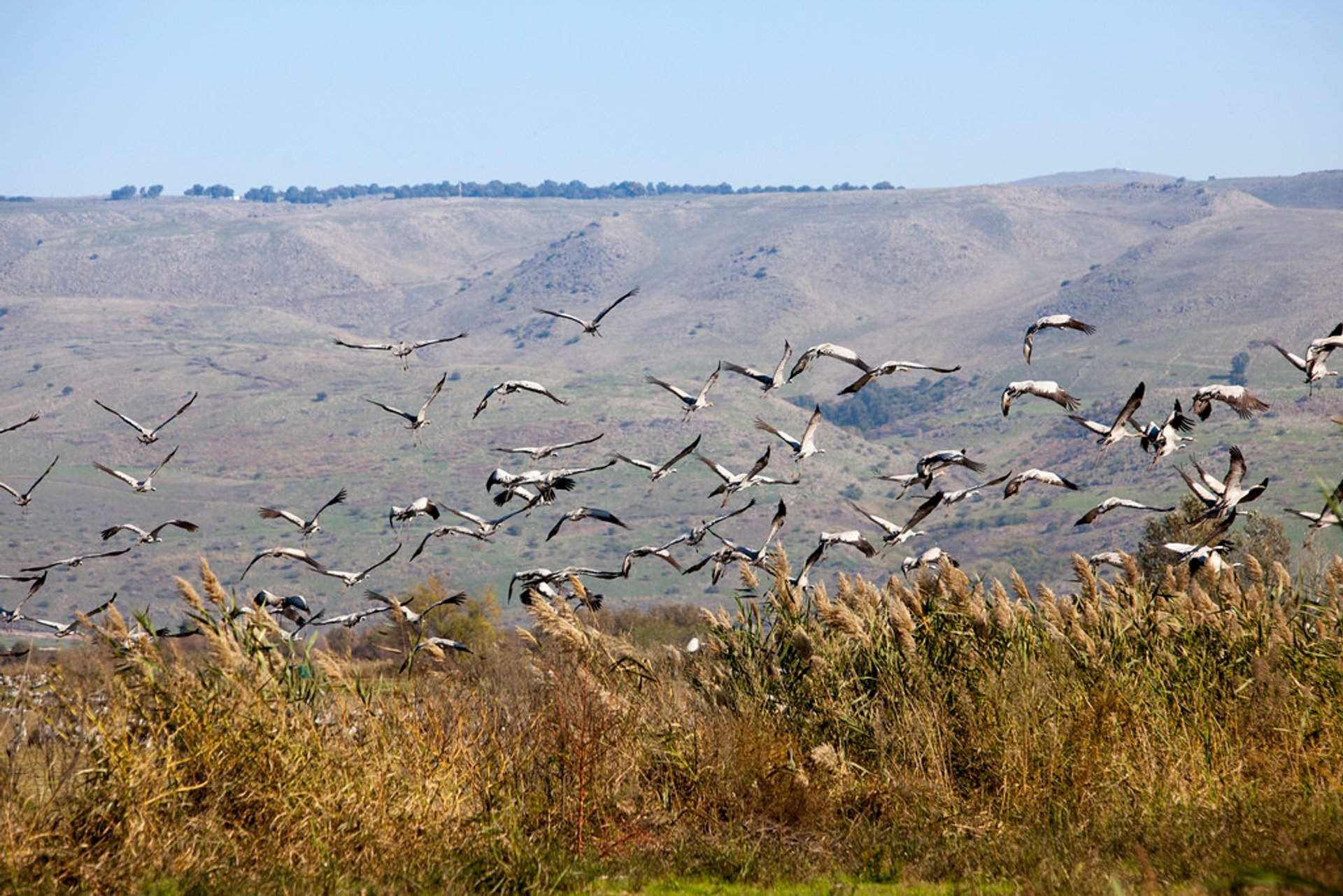 Cranes taking off in the Hula Valley National Park