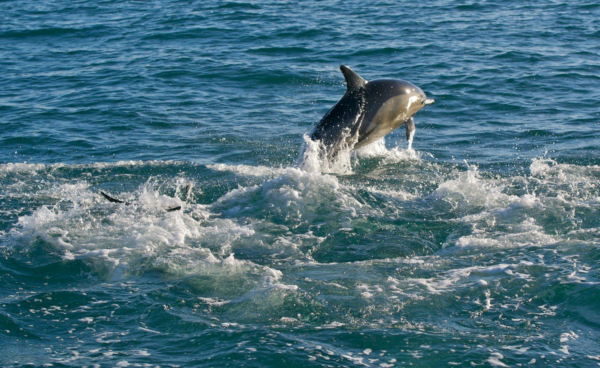 Common Dolphin in Ireland - Best Season 2019
