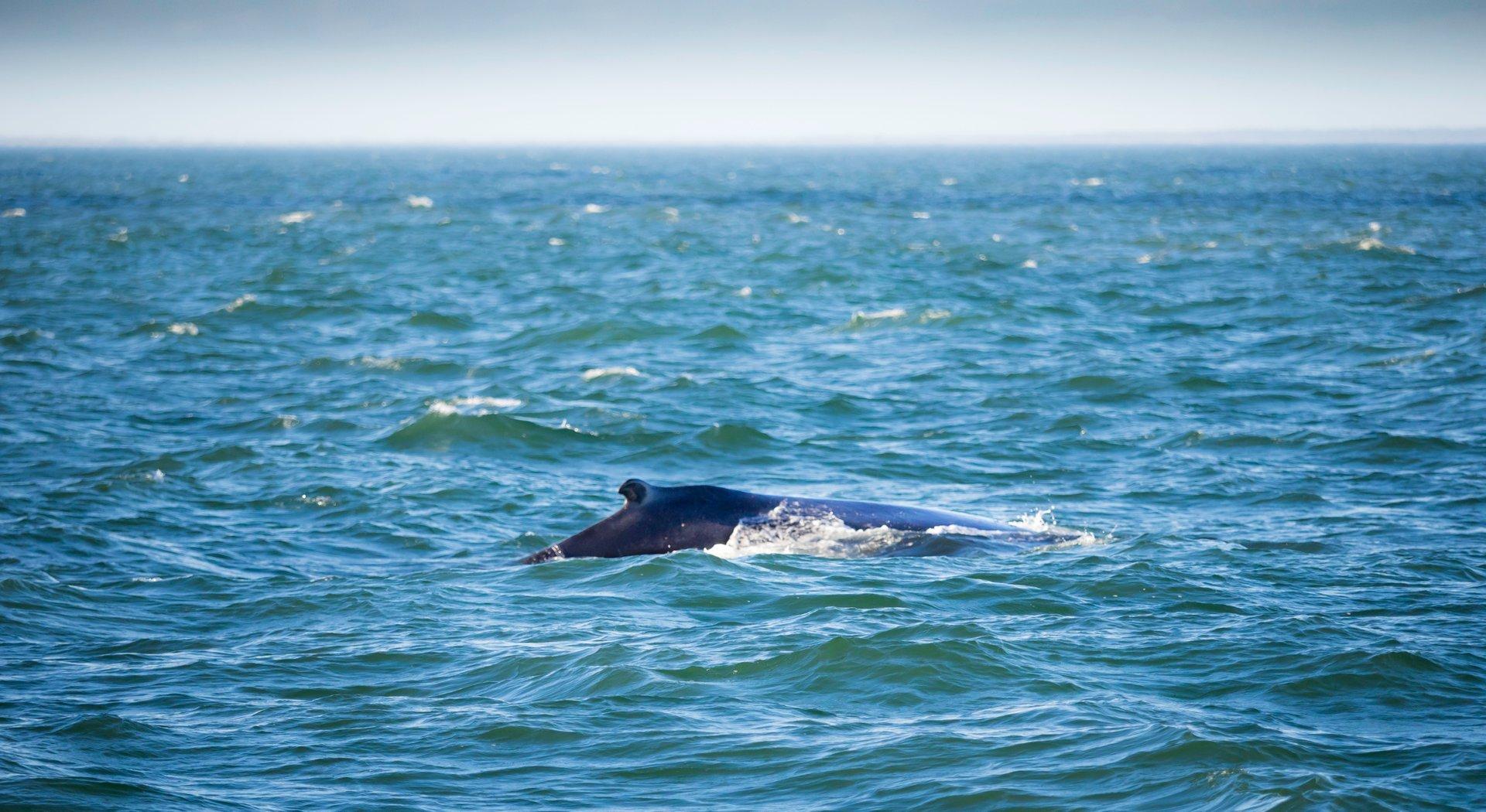 Humpback whales 2020