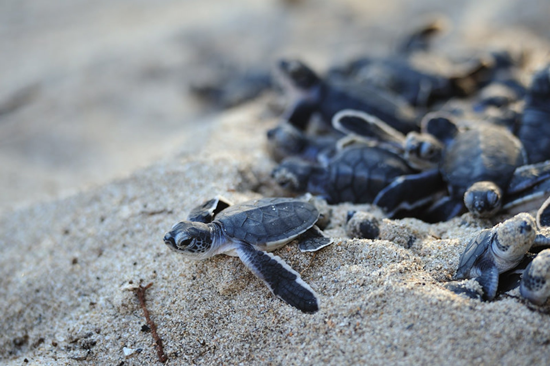 Sea Turtle Hatchlings in Tanzania 2019 - Best Time