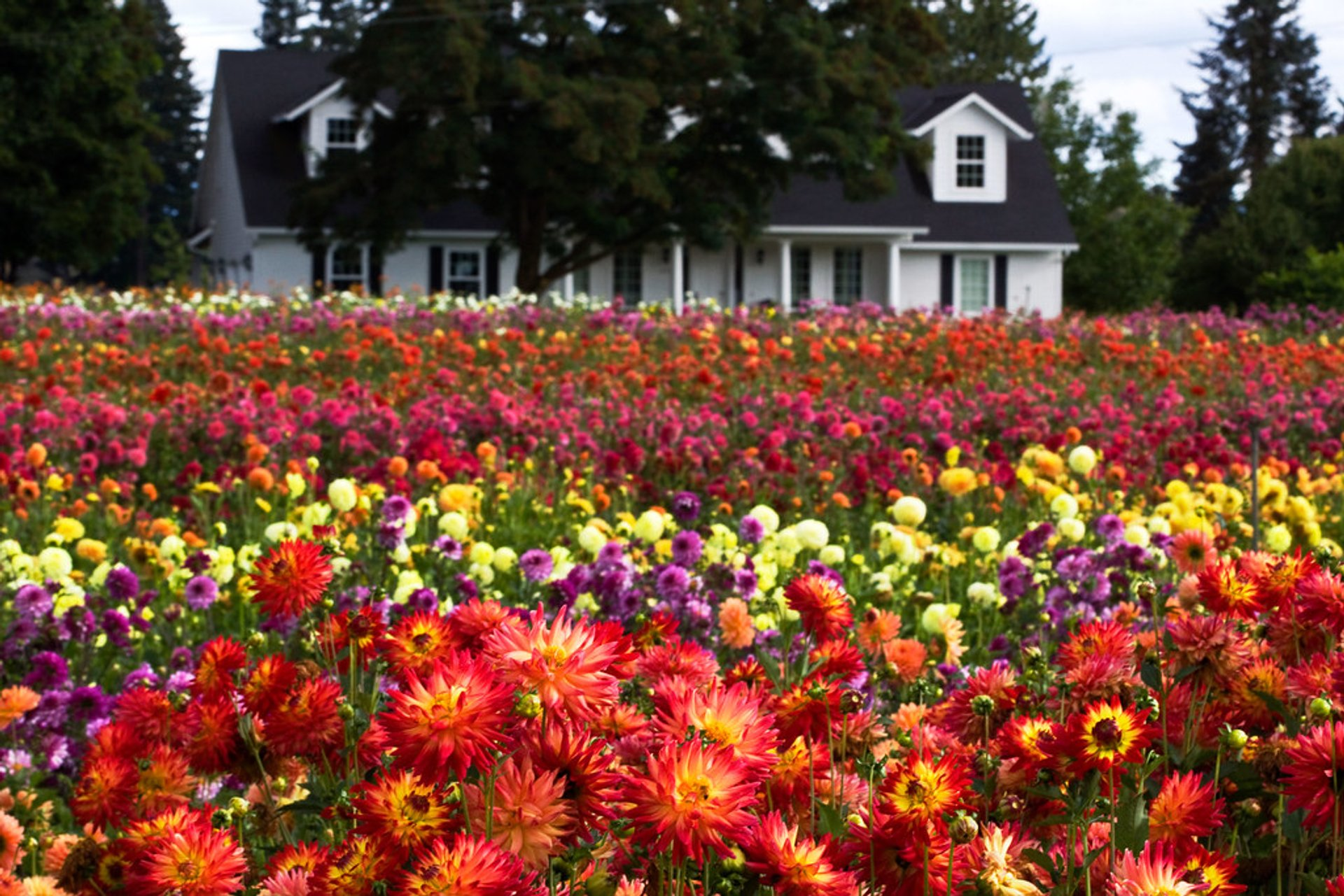 Tulip Festival 2020 Oregon.Dahlia Festival 2020 In Oregon Dates Map