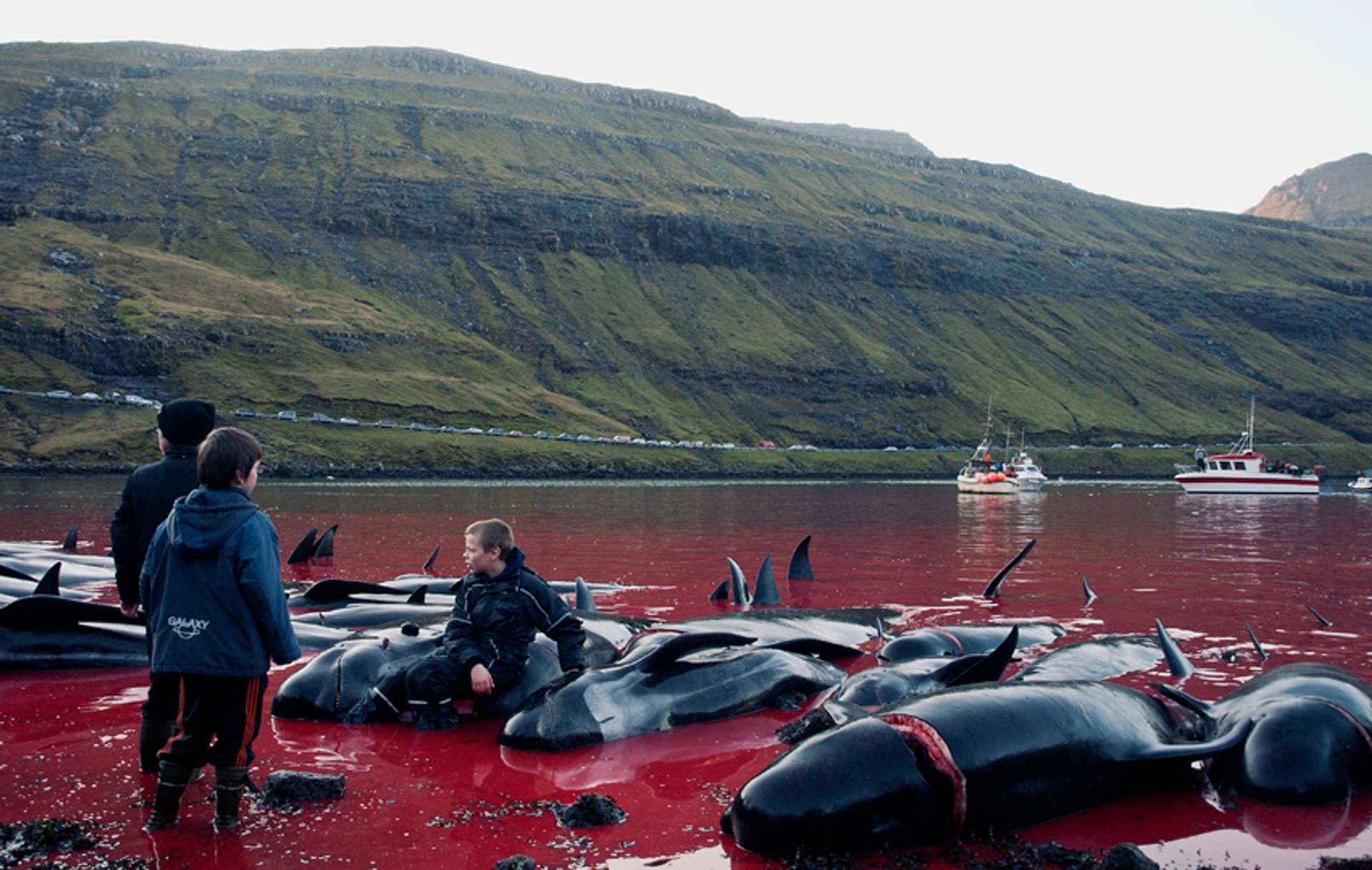 Tradition or Savagery? Grindadráp! in Faroe Islands 2019 - Best Time