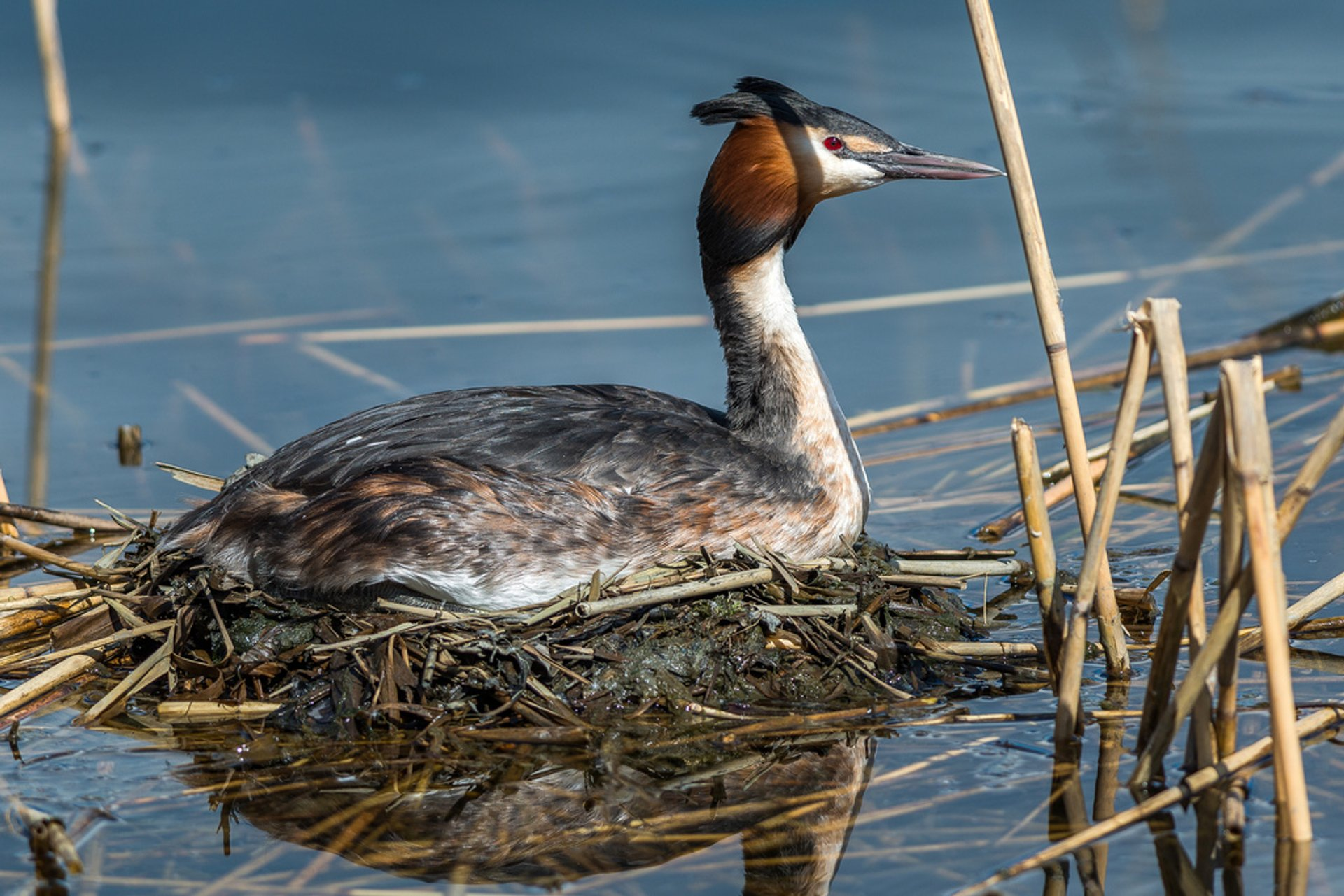 Great crested grebe 2020