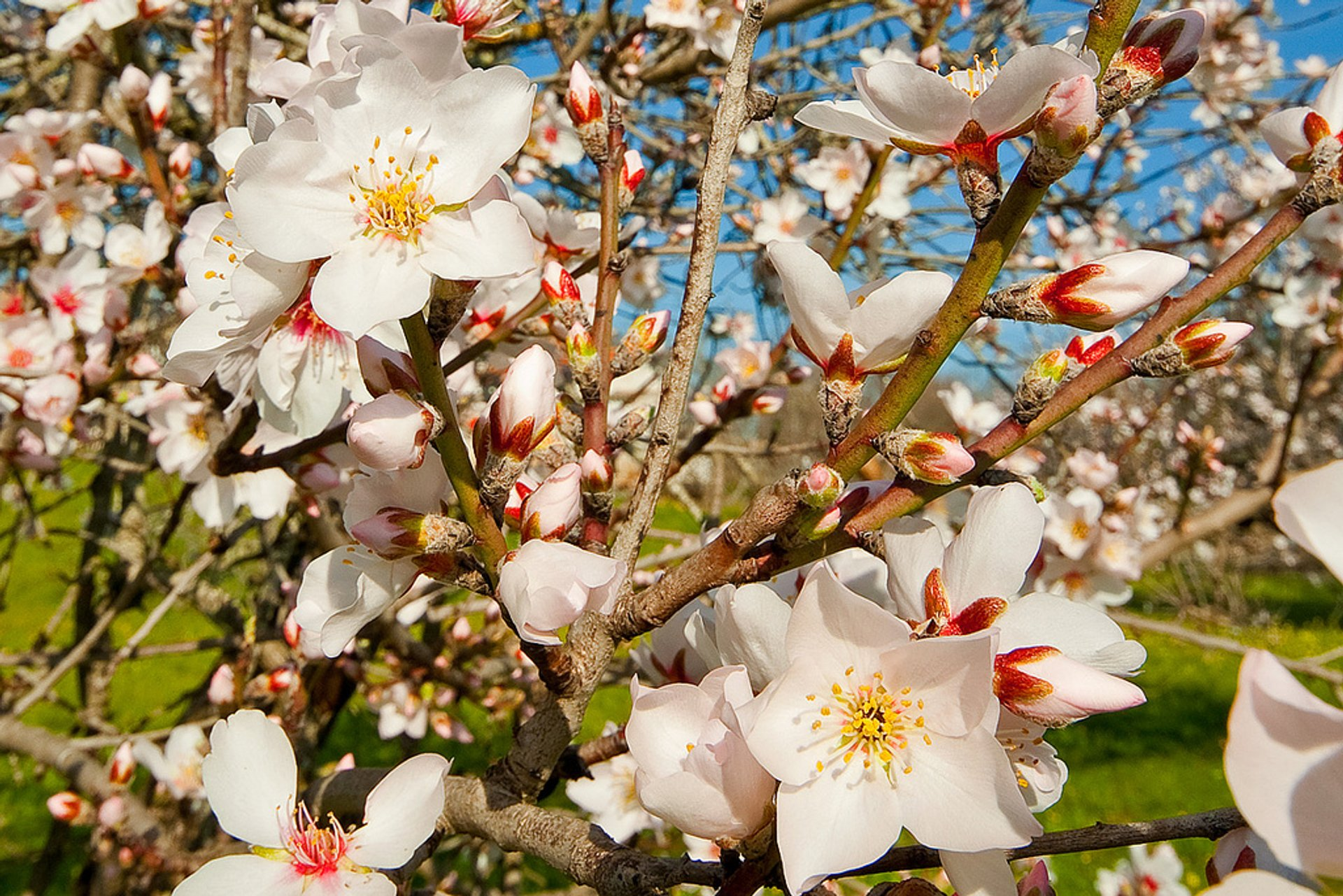 Almond Tree Blossom in Portugal 2020 - Best Time