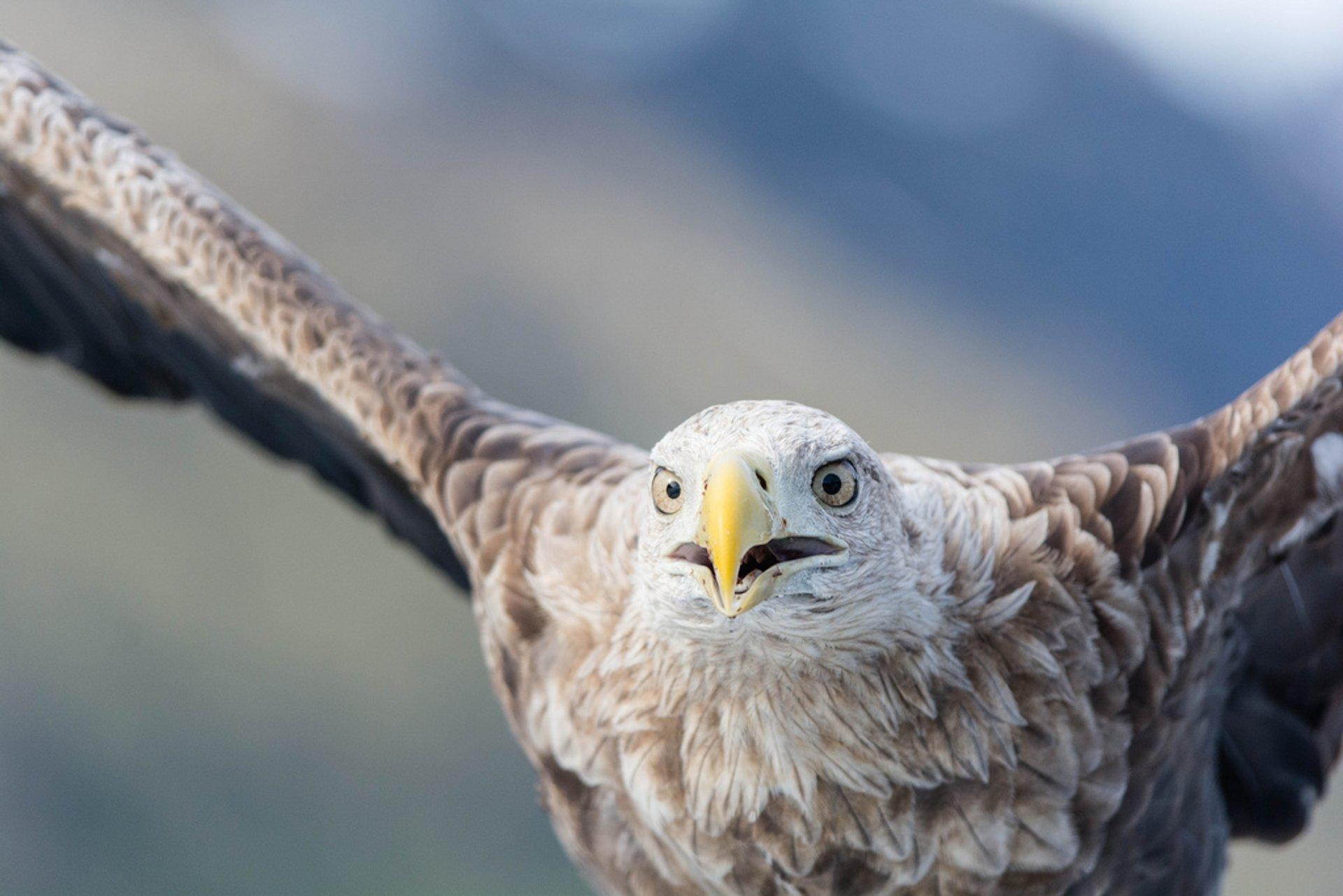 White-tailed or sea eagle, Trollfjord, Troms Fylke, Norway 2020