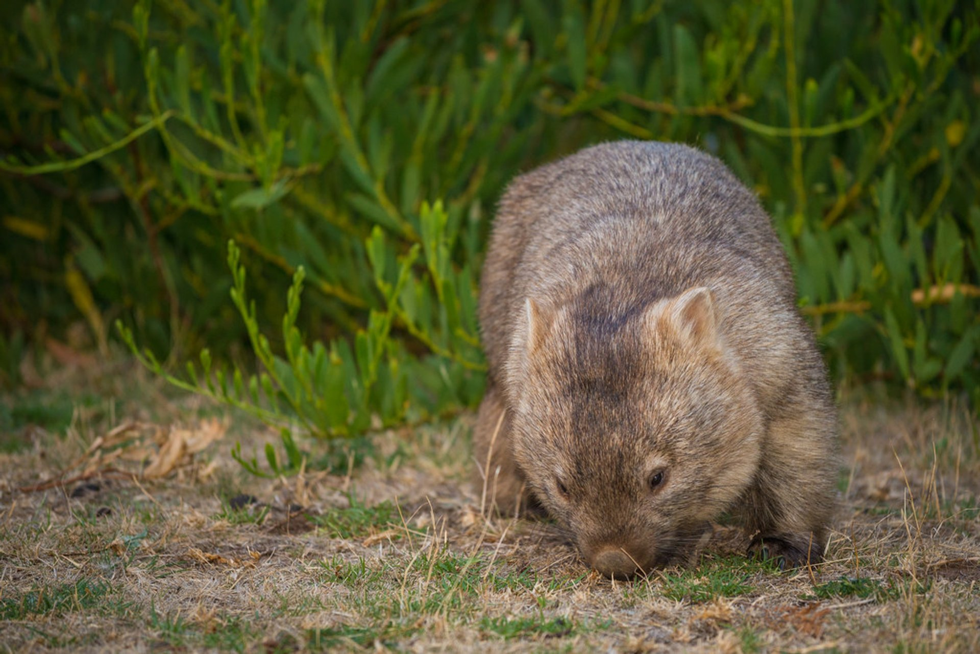 Wombat Watching in Victoria - Best Season 2019