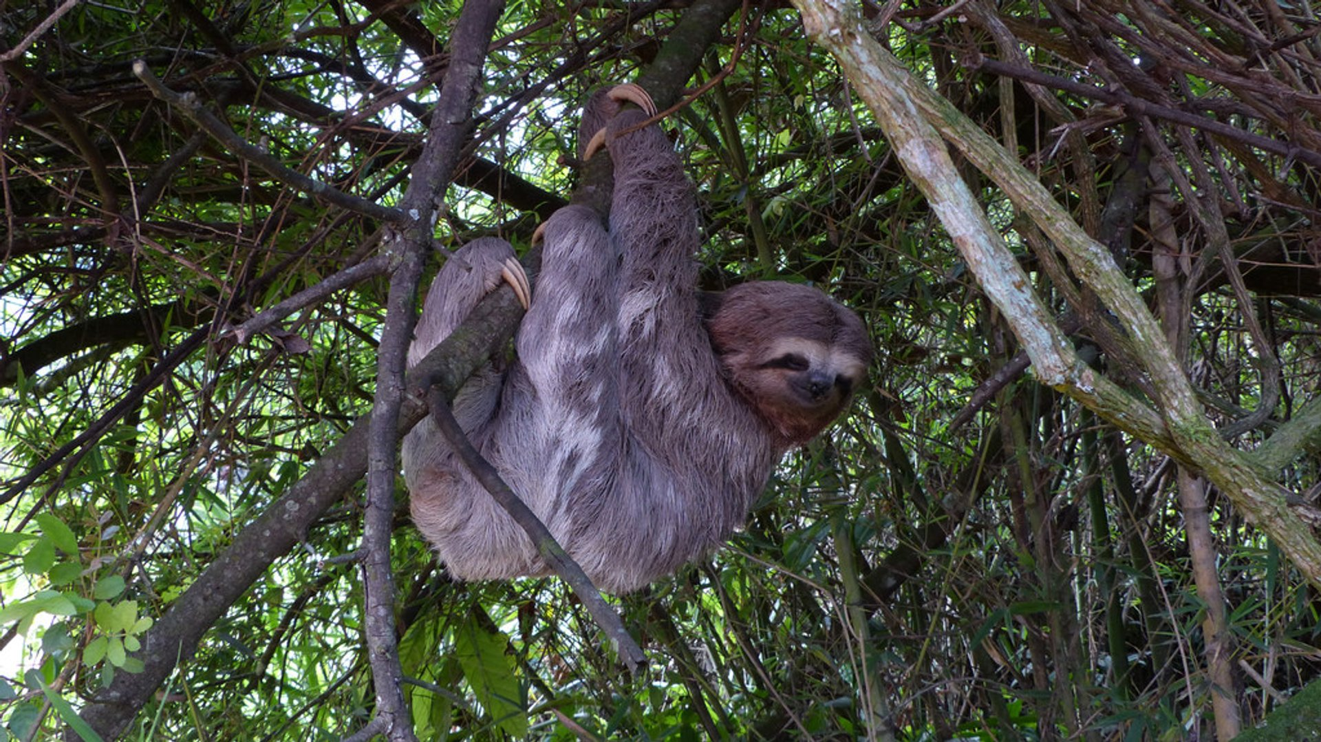 Three-Toed Sloth Mating Season in Rio de Janeiro - Best Season 2019