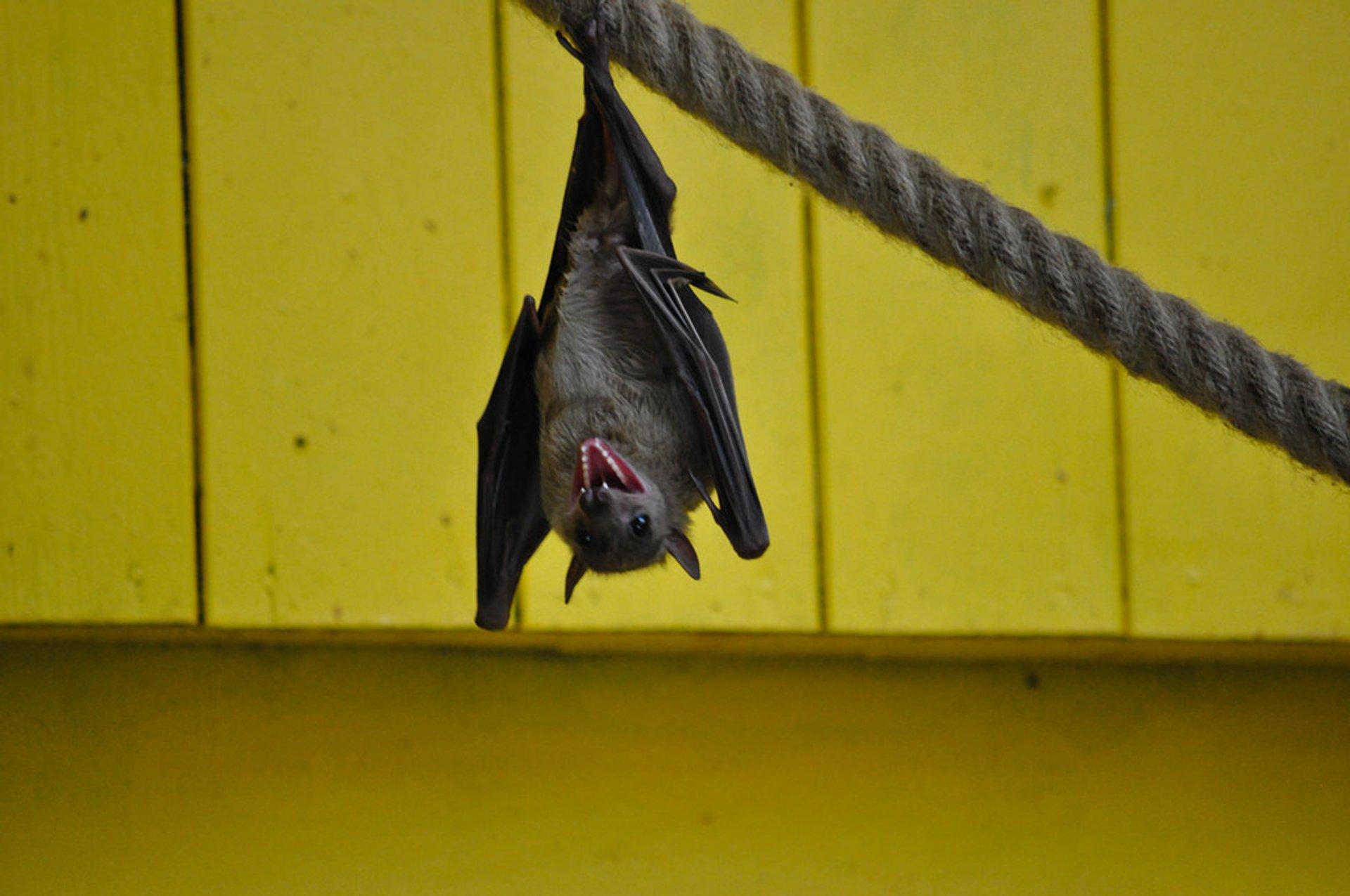Bats Fluttering  in England 2019 - Best Time