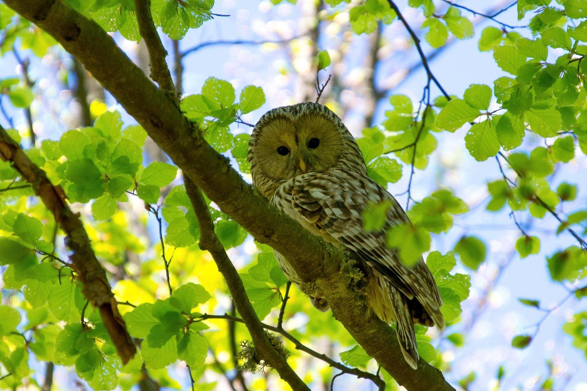 Ural Owl 2020