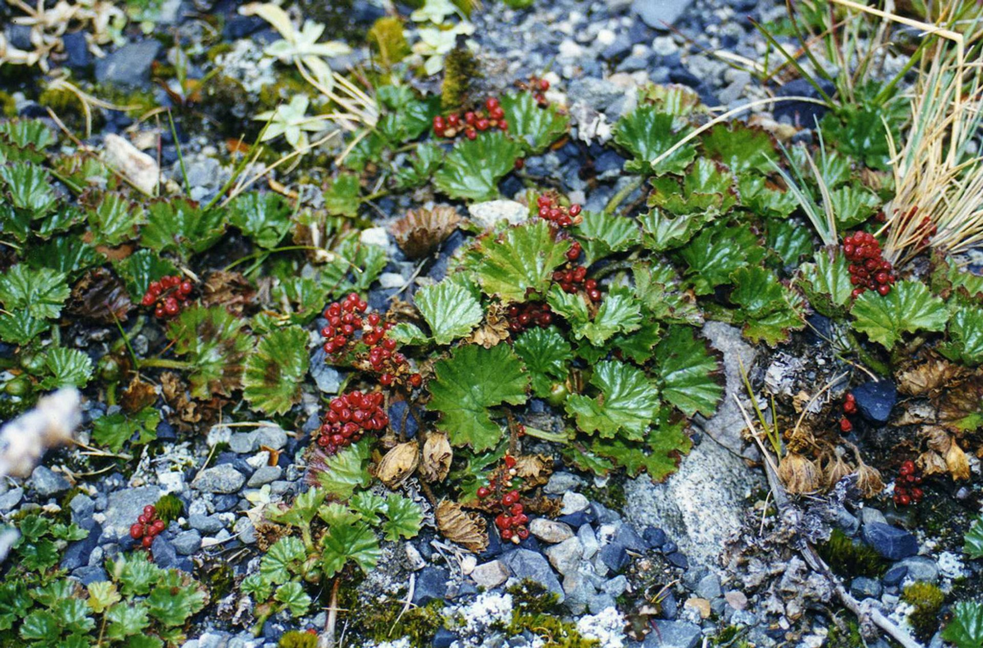 Best time for Wild Berries in Chile