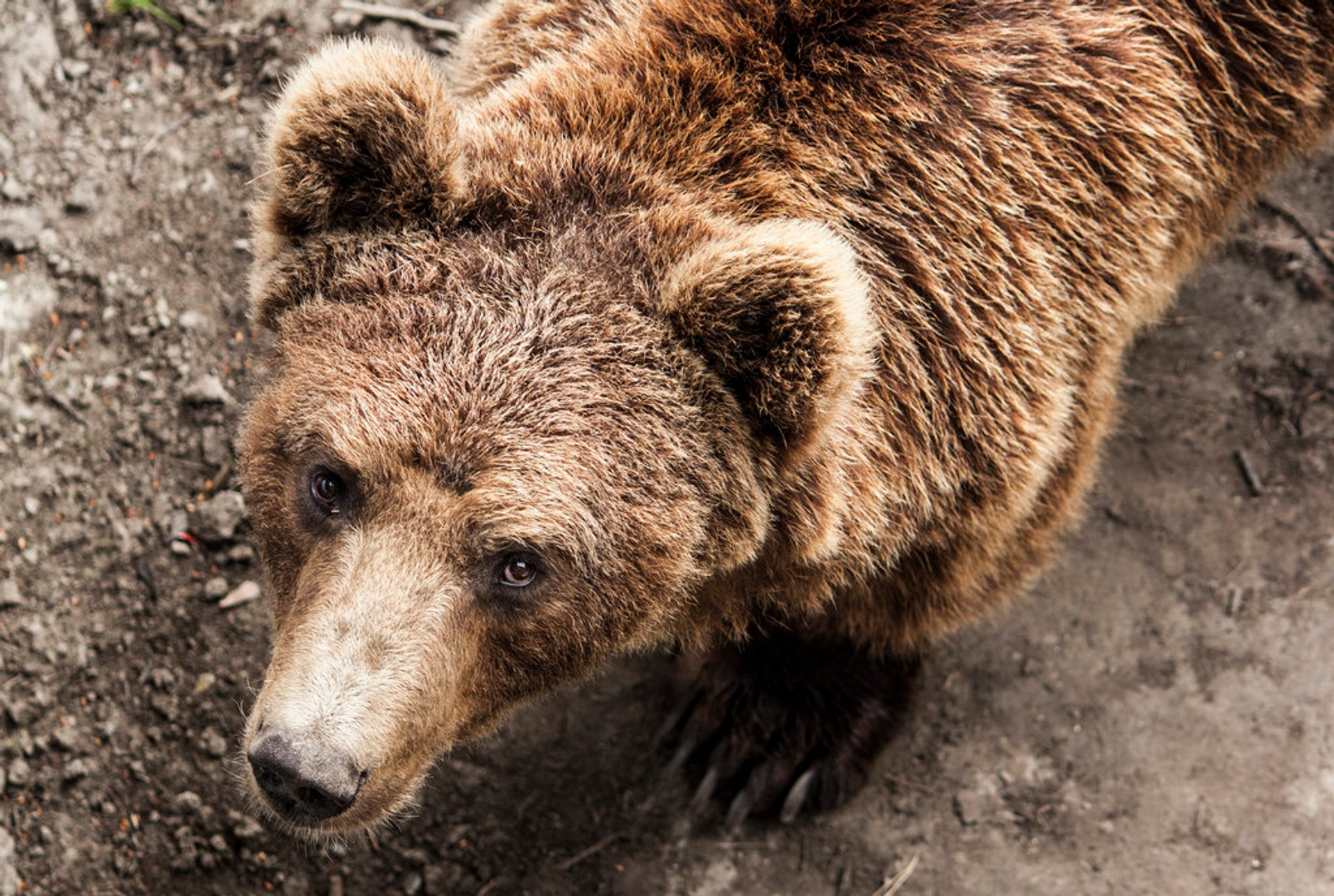 Brown Bears in Norway 2020 - Best Time