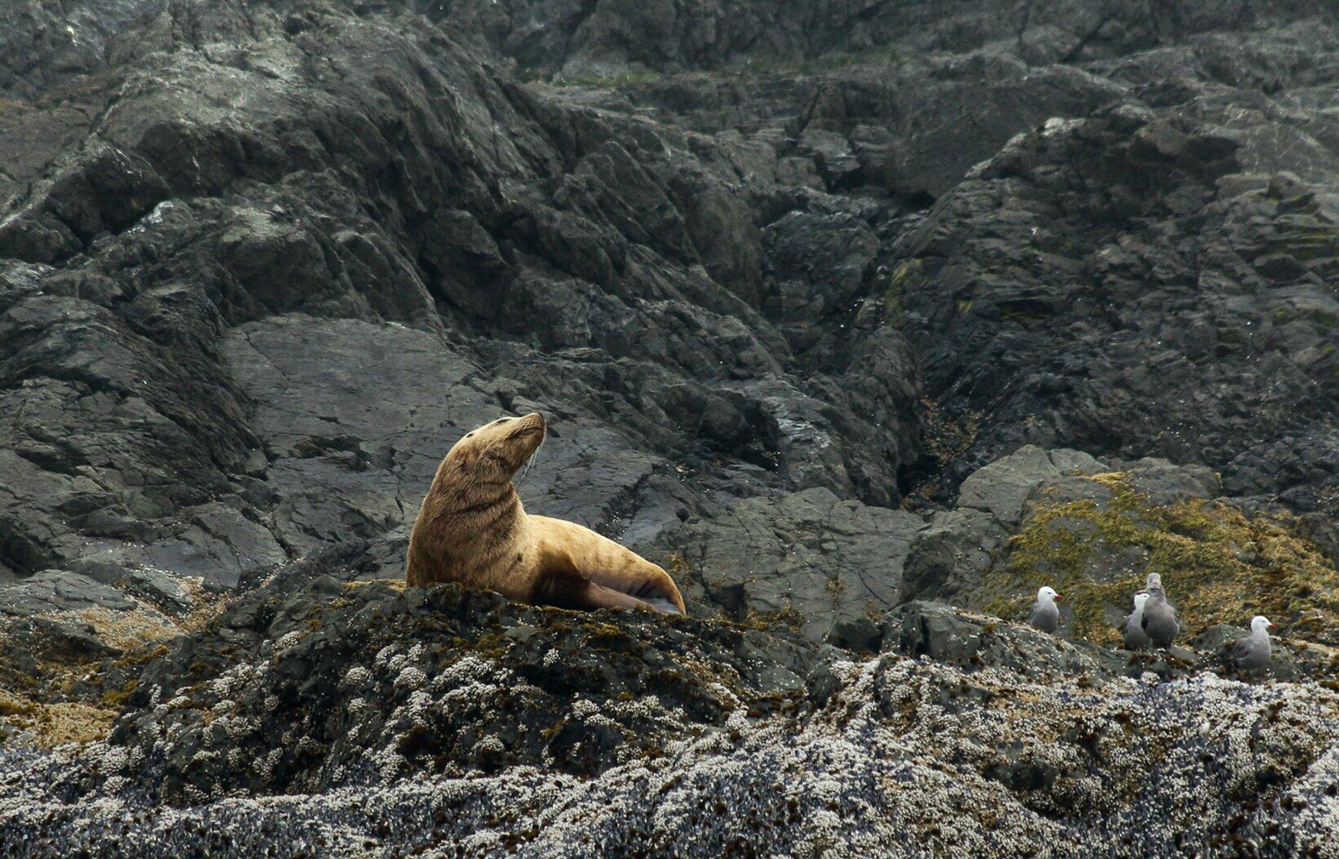 Steller sea lions near Tofino, Canada 2020