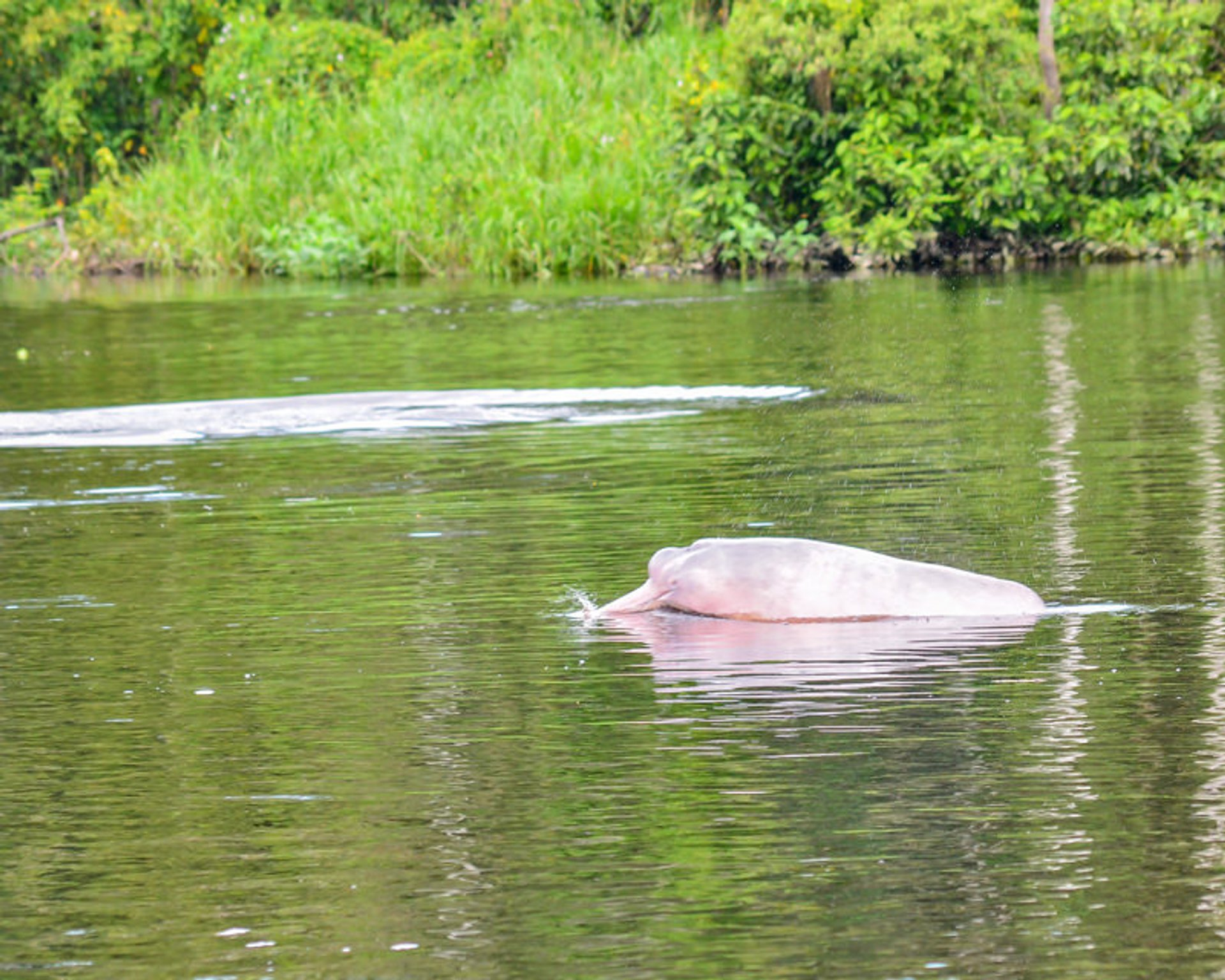 Best time for Pink Dolphin Breeding Season in Peru 2019
