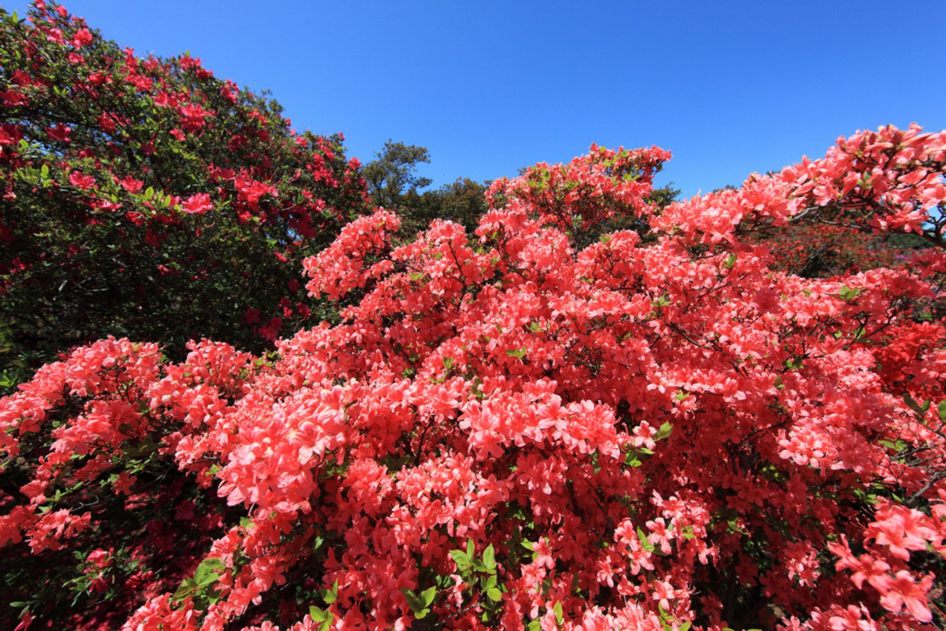Azaleas in Japan - Best Season