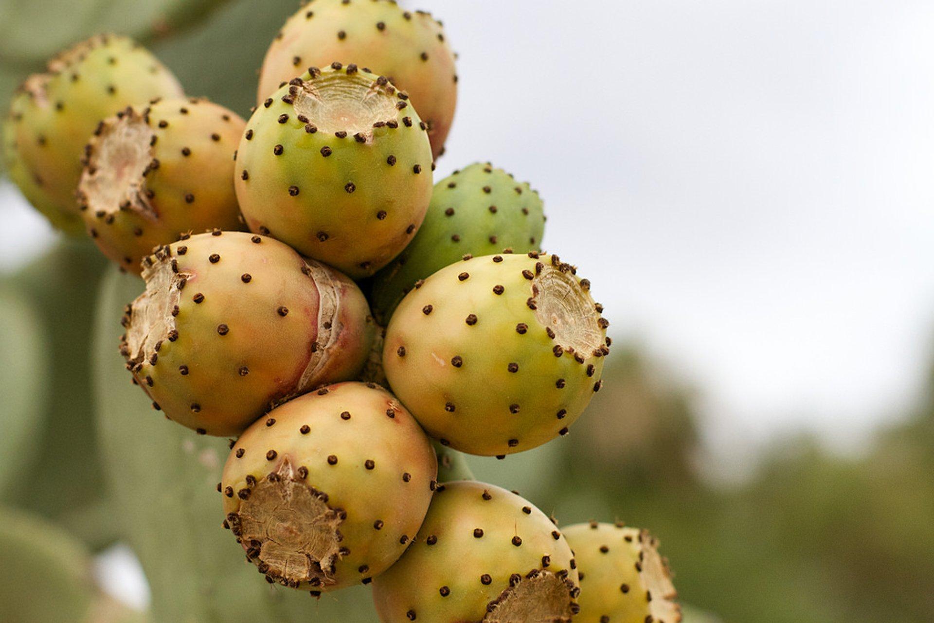 Cactus Pear in Jordan 2020 - Best Time