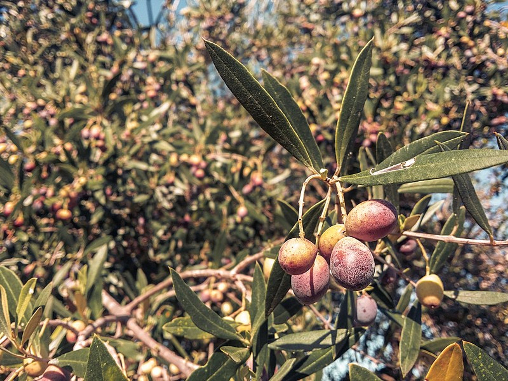 Olive Harvest Season in Tunisia 2019 – Rove me