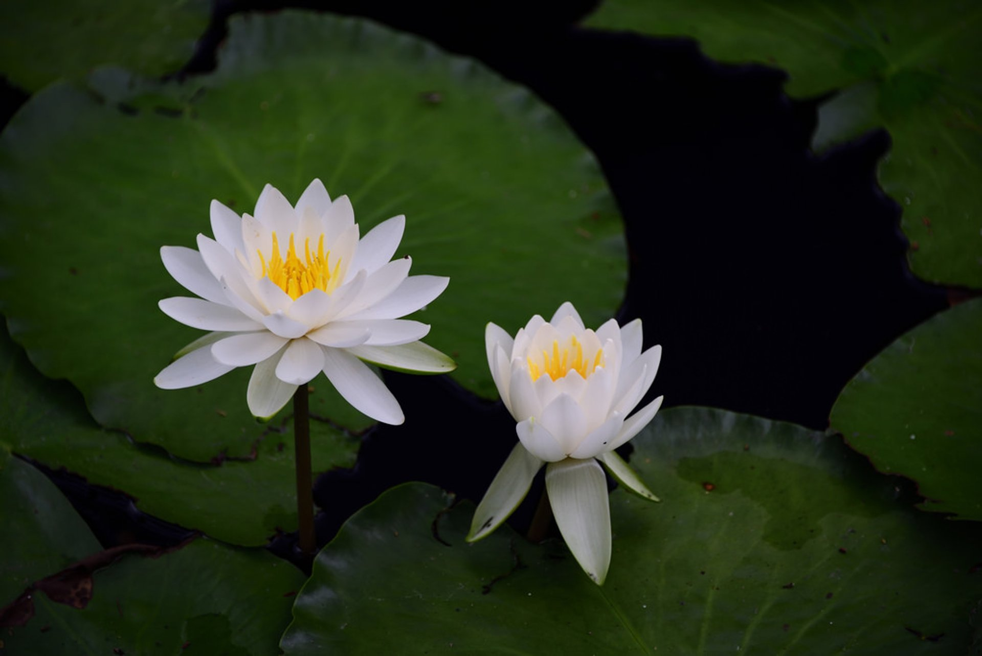Best time for Water Lilies Season in Kyoto