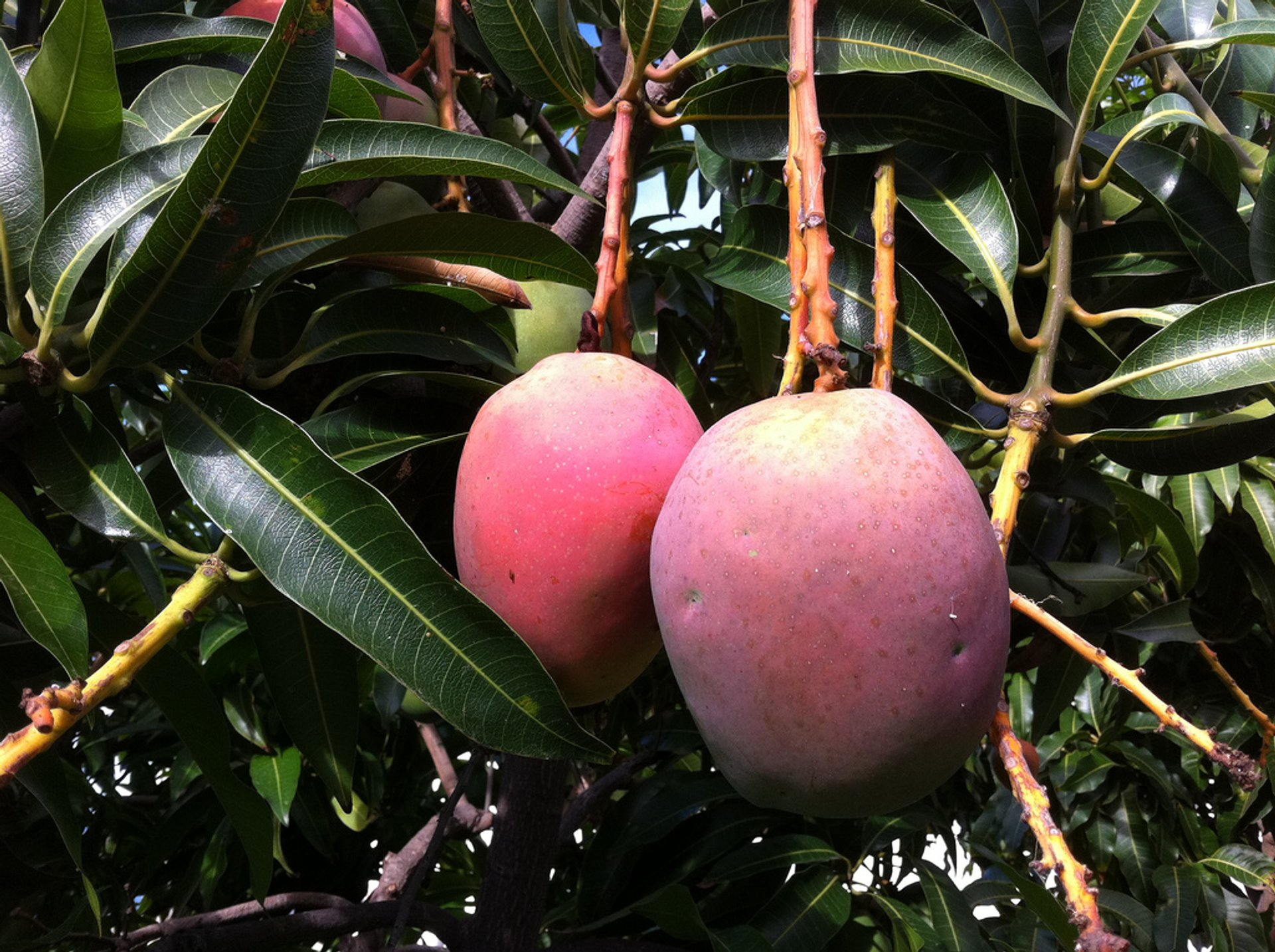 Ripe and juicy mangoes 2019