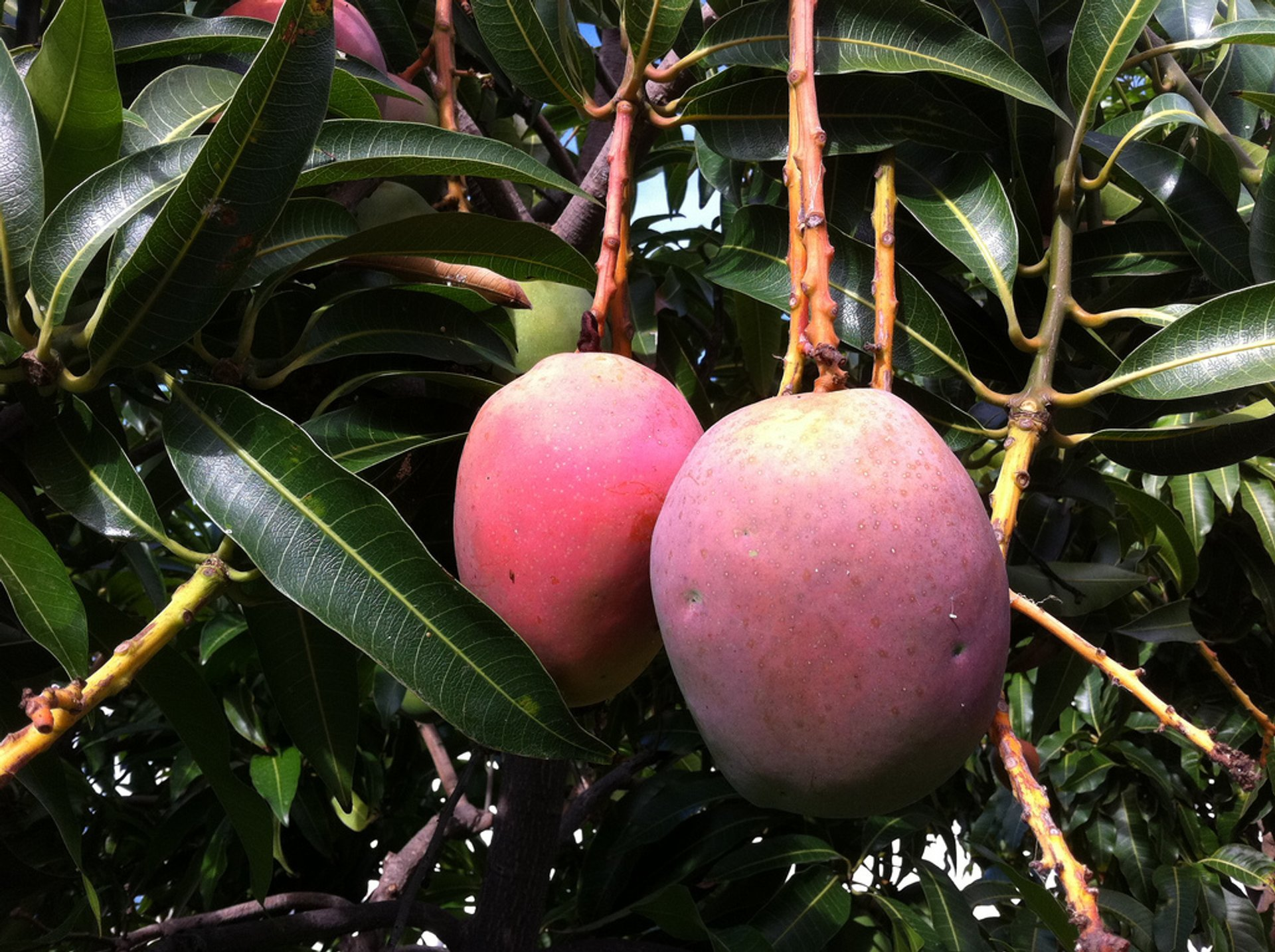Ripe and juicy mangoes 2020