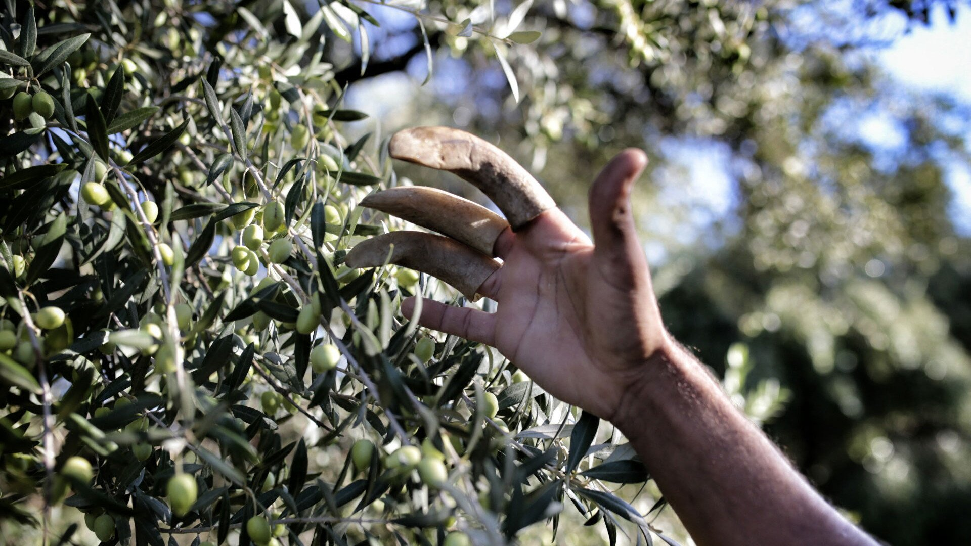 Olive Harvest in Tunisia - Best Season 2020
