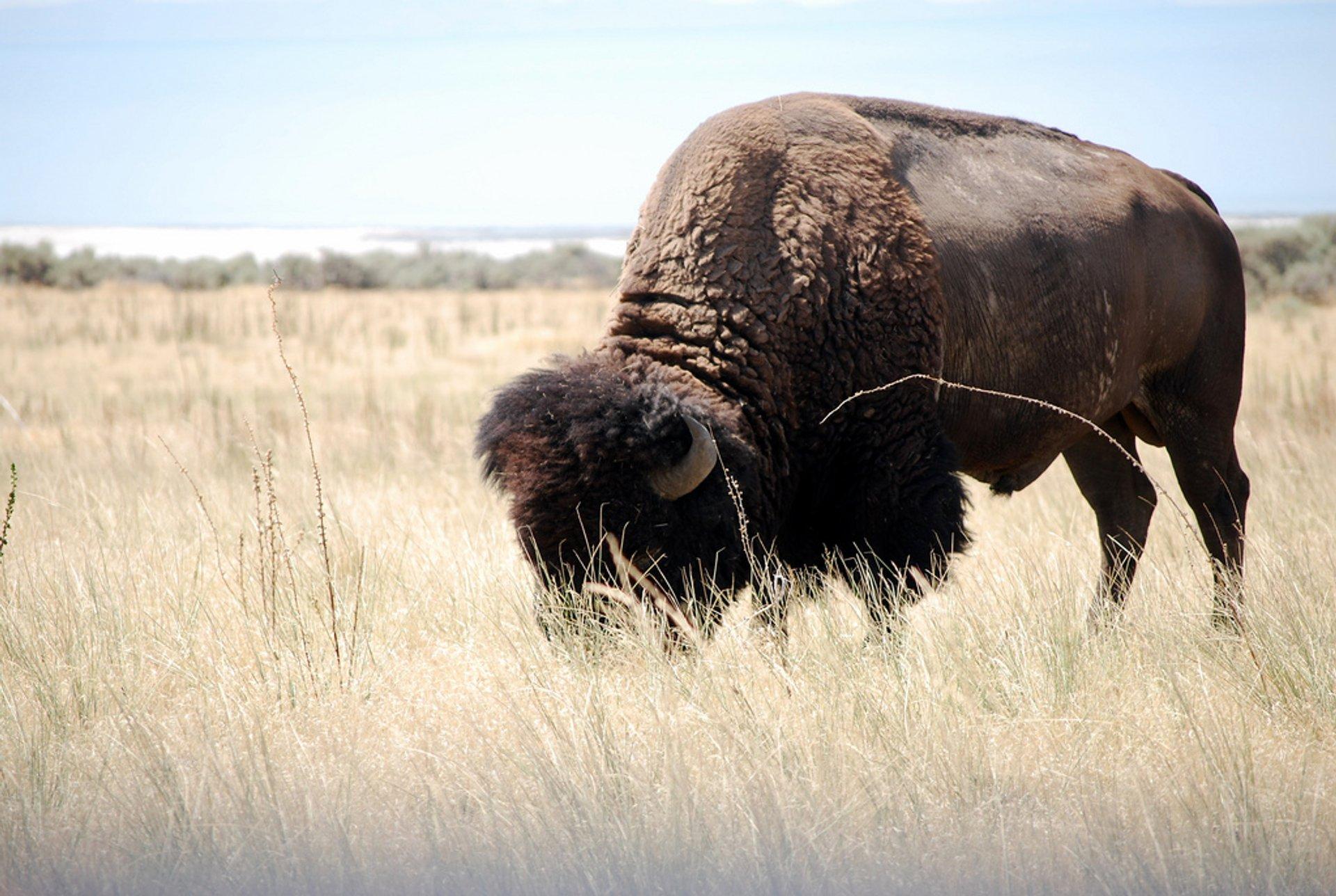 Grazing Buffalo, Antelope Island, Utah 2020