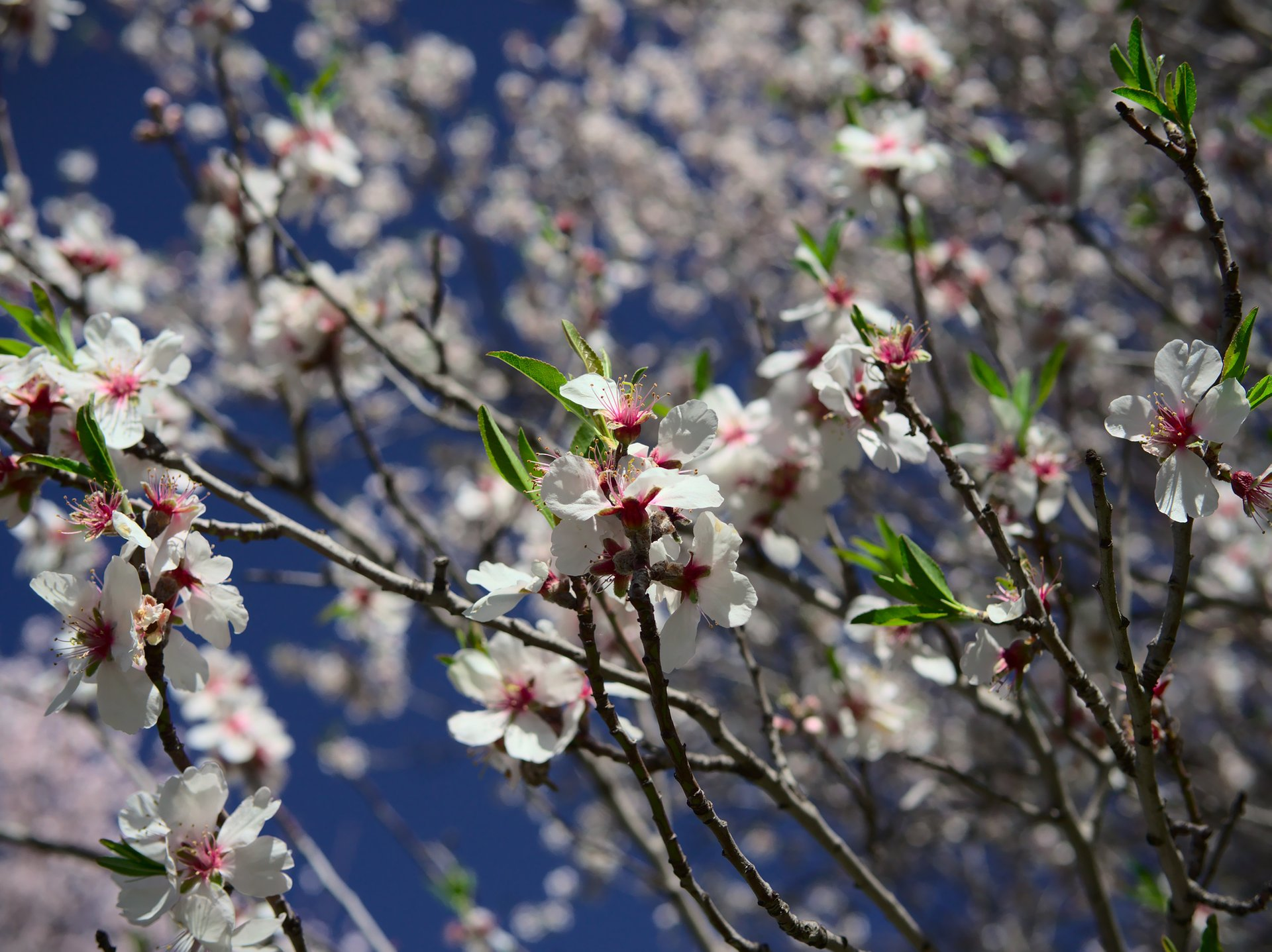 Blooming Almond Trees in Cyprus 2020 - Best Time