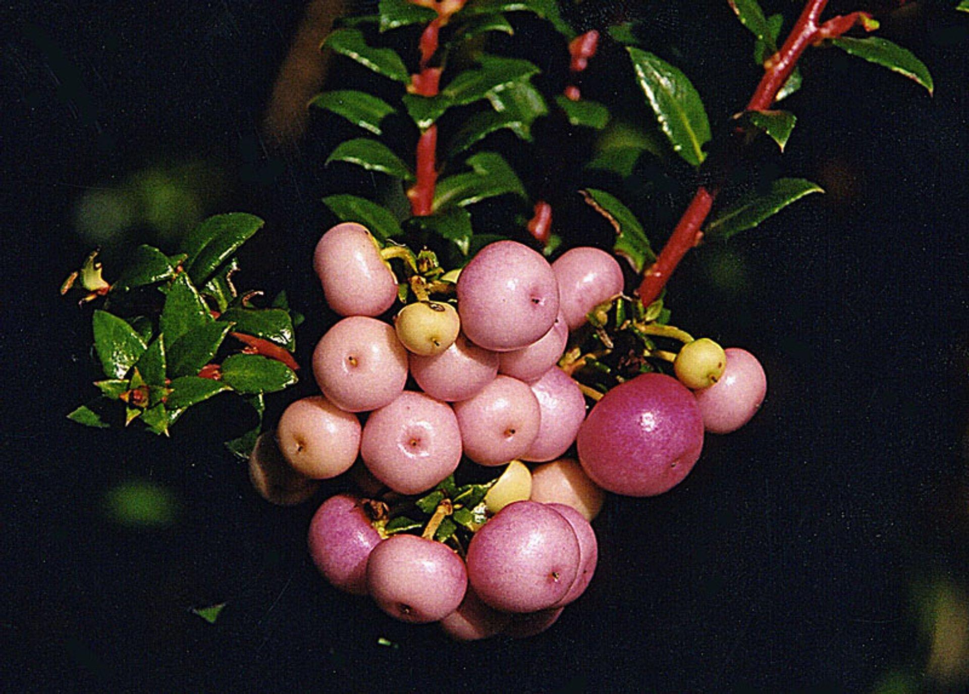 Wild Berries in Chile - Best Season 2020