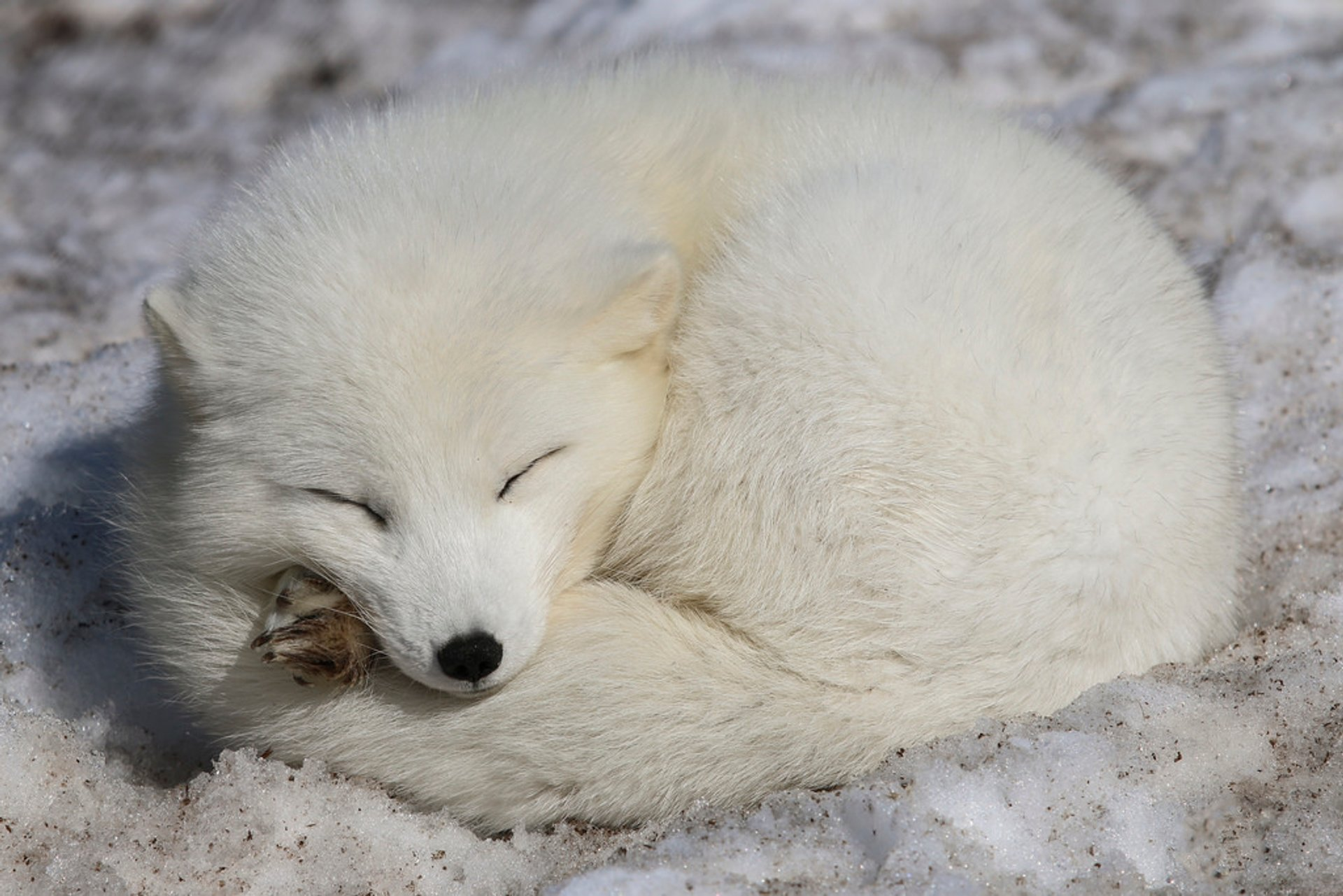 Arctic Fox in Norway - Best Season