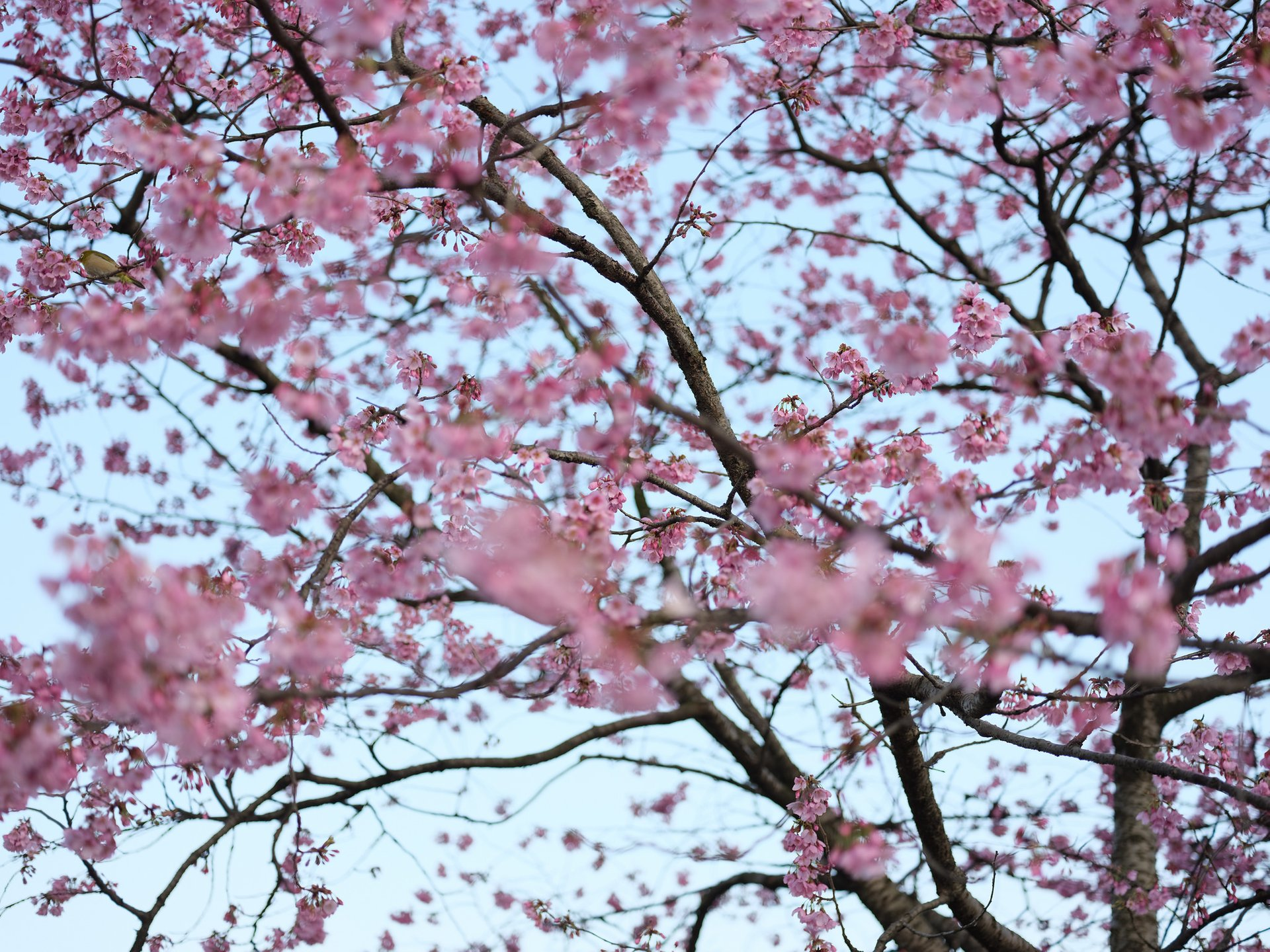 Best time to see Cherry Blossom in Tokyo 2020
