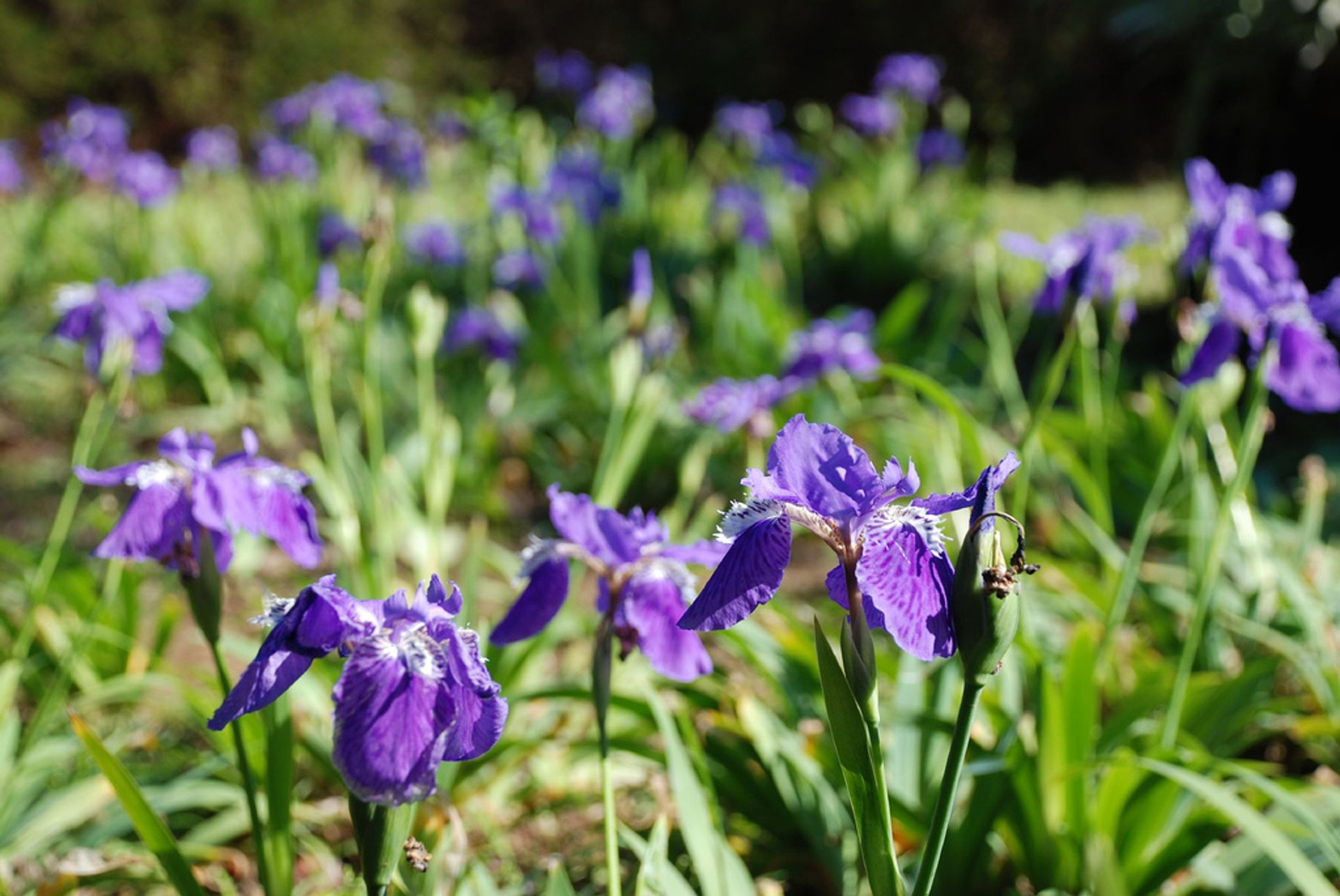 Yangmingshan Flower Season in Taiwan - Best Season 2020