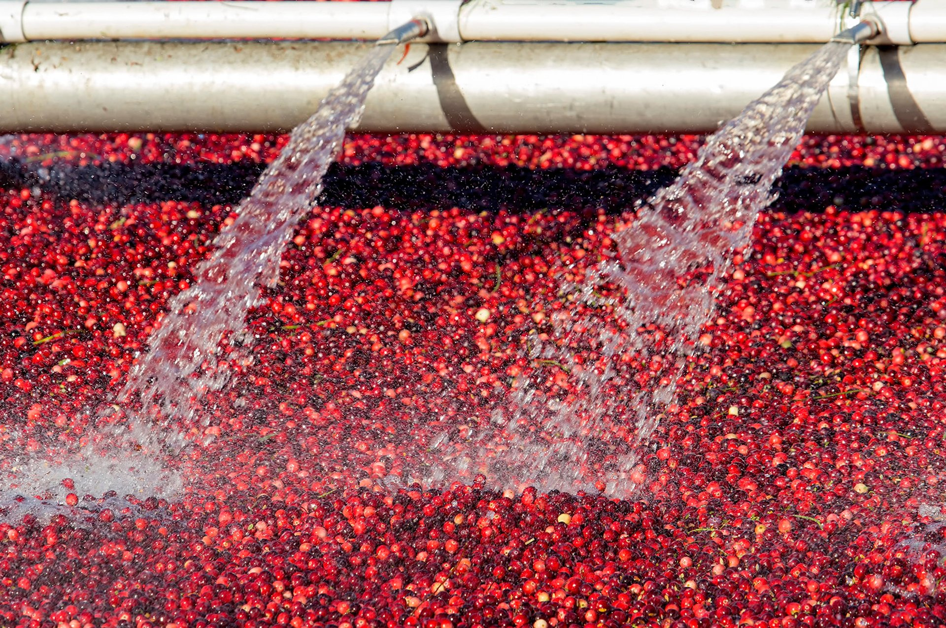 Cranberry harvesting in Richmond 2020