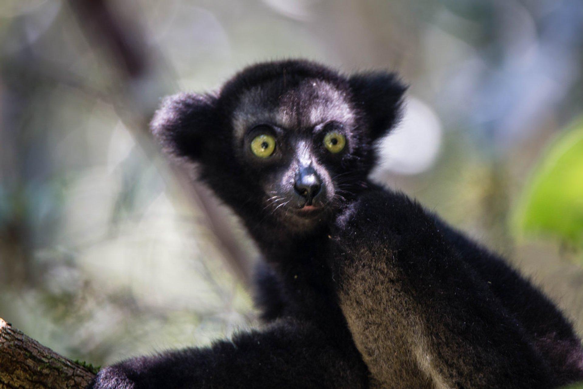 Indri Lemur in Madagascar 2020 - Best Time
