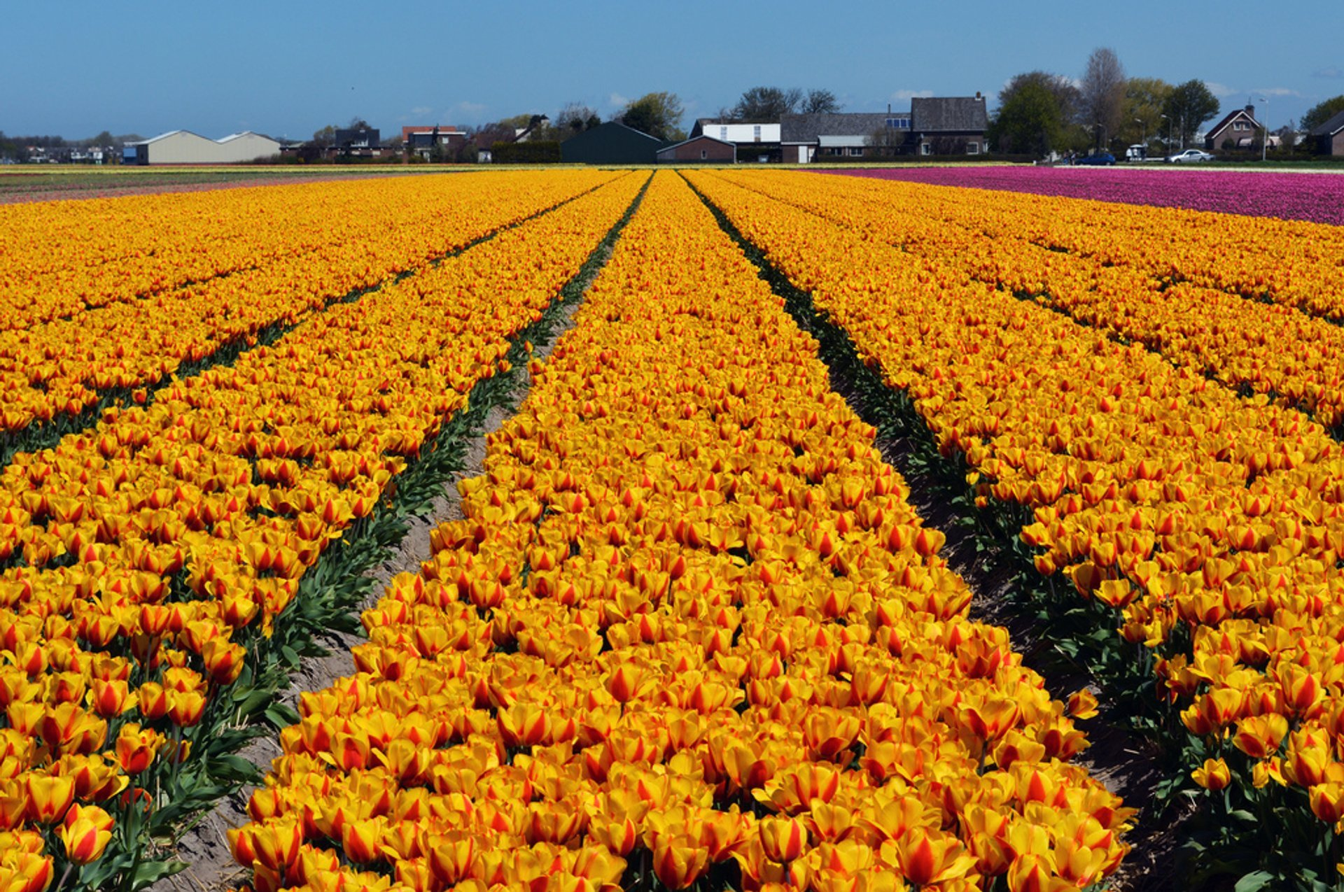 Tulip Season in The Netherlands 2020 - Best Time