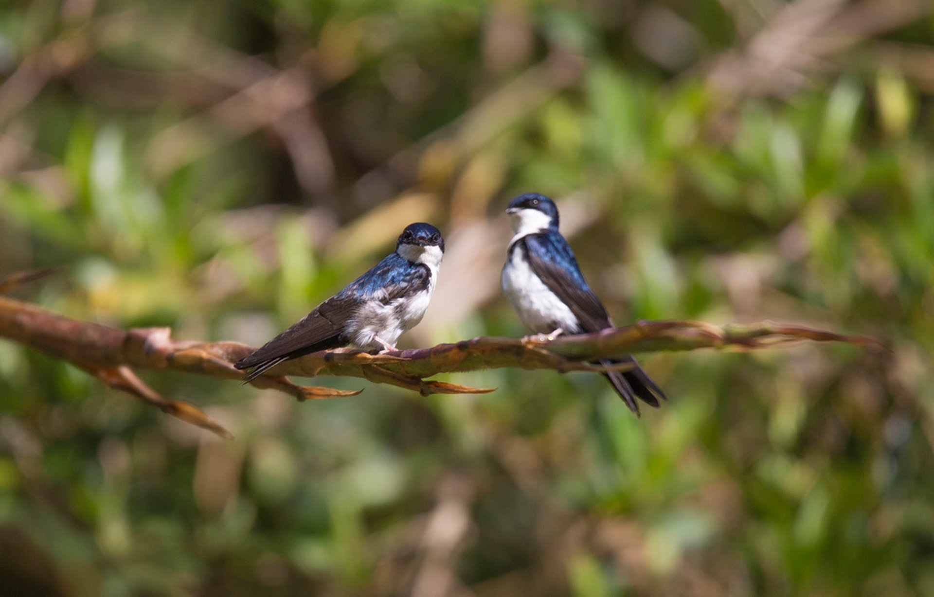 Blue and White Swallow at Baja Del Toro