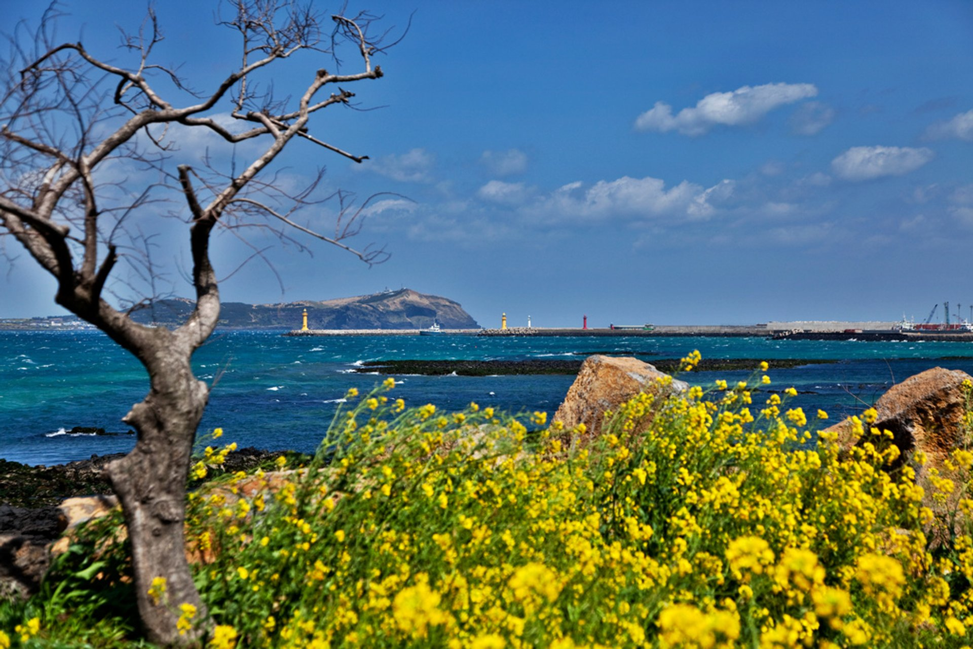 Best time for Canola (Yuche) Bloom on Jeju Island 2020