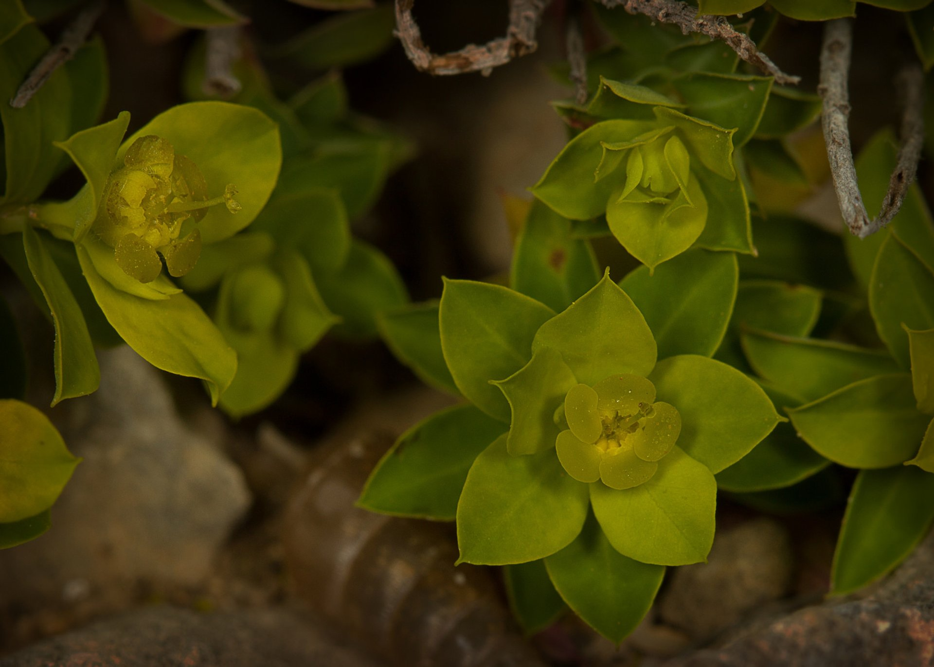 Maltese Spurge Flowering Season in Malta - Best Season 2020