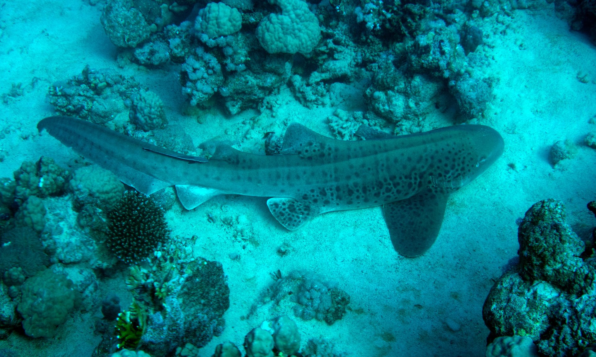 Leopard Shark off Tiran Island, Red Sea 2020
