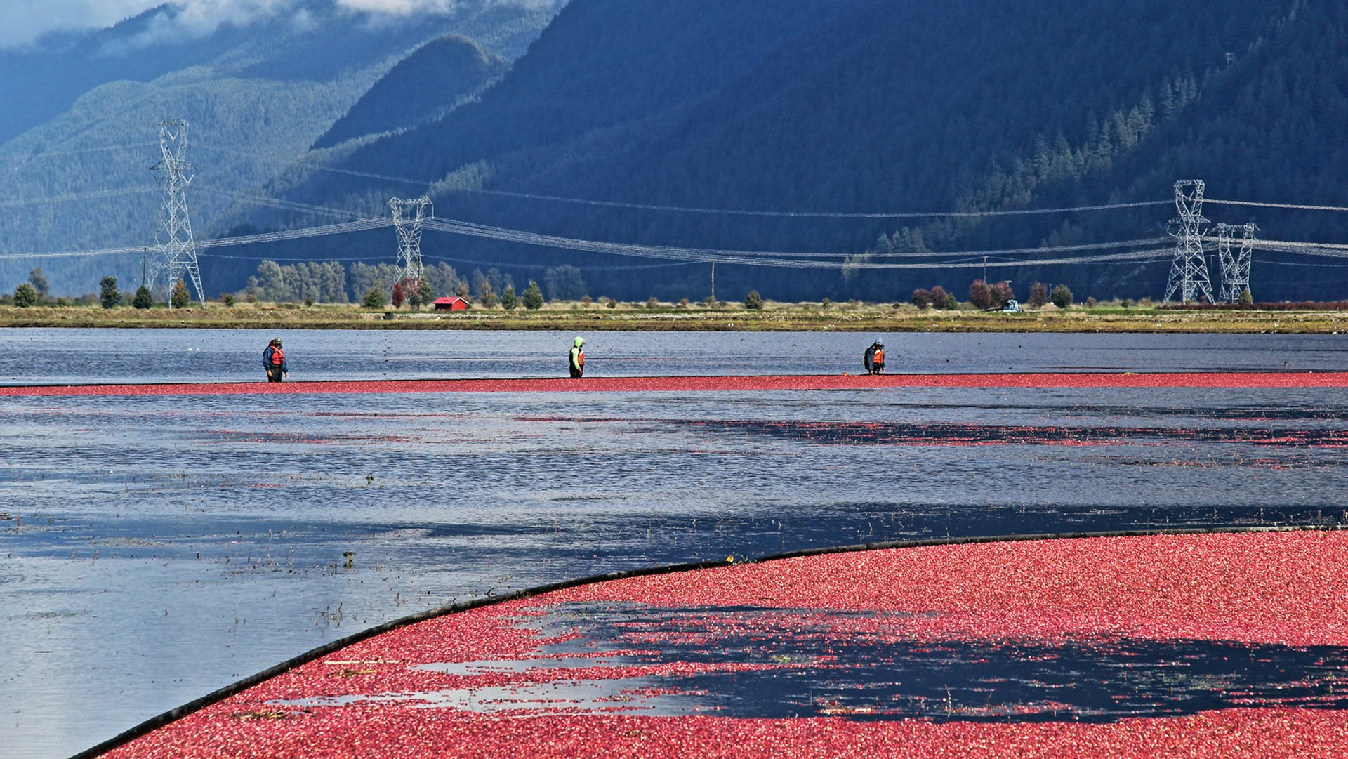 Cranberry Harvesting. Pitt Meadows 2020