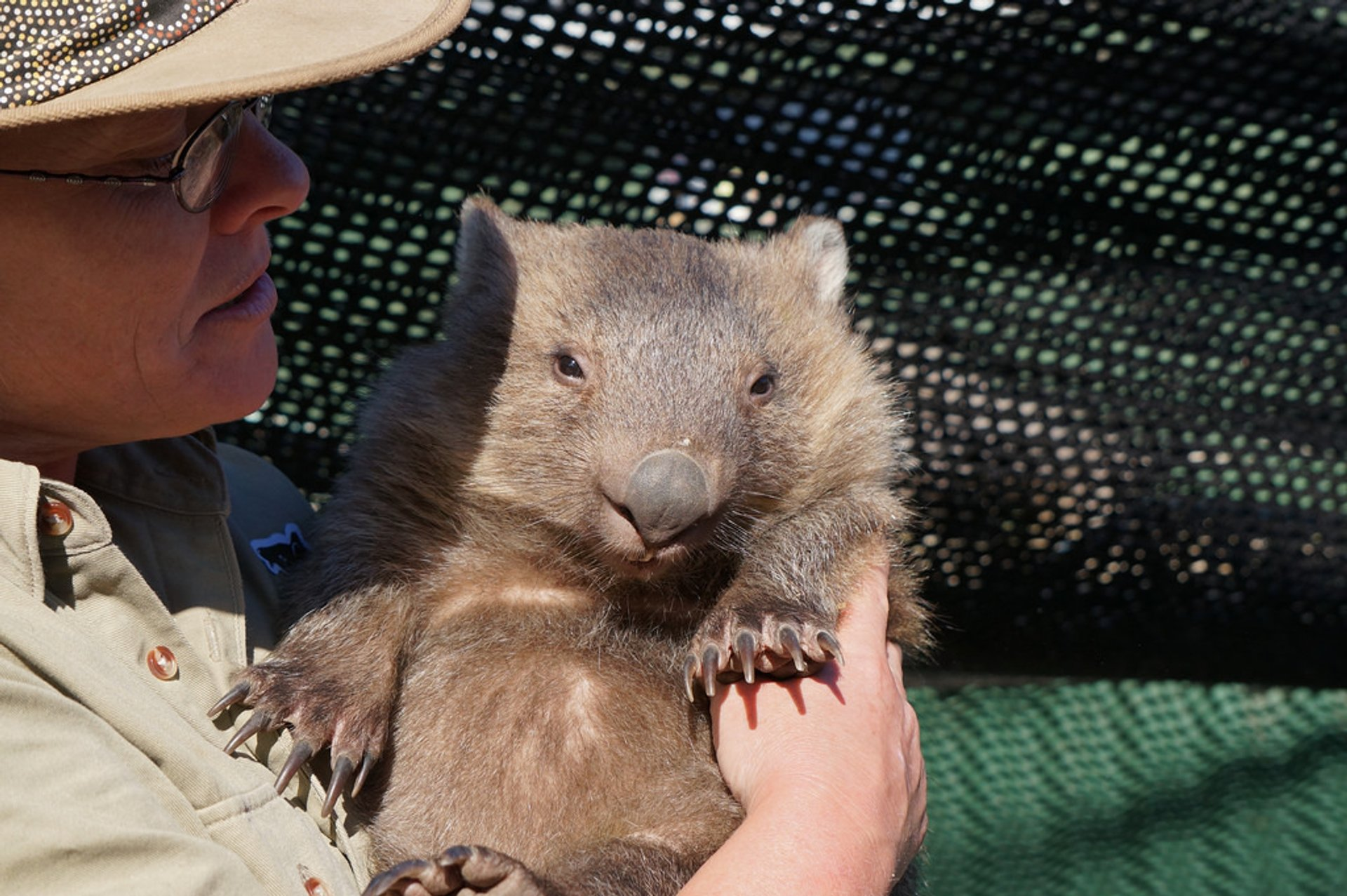Wombat Watching in Tasmania - Best Season 2020