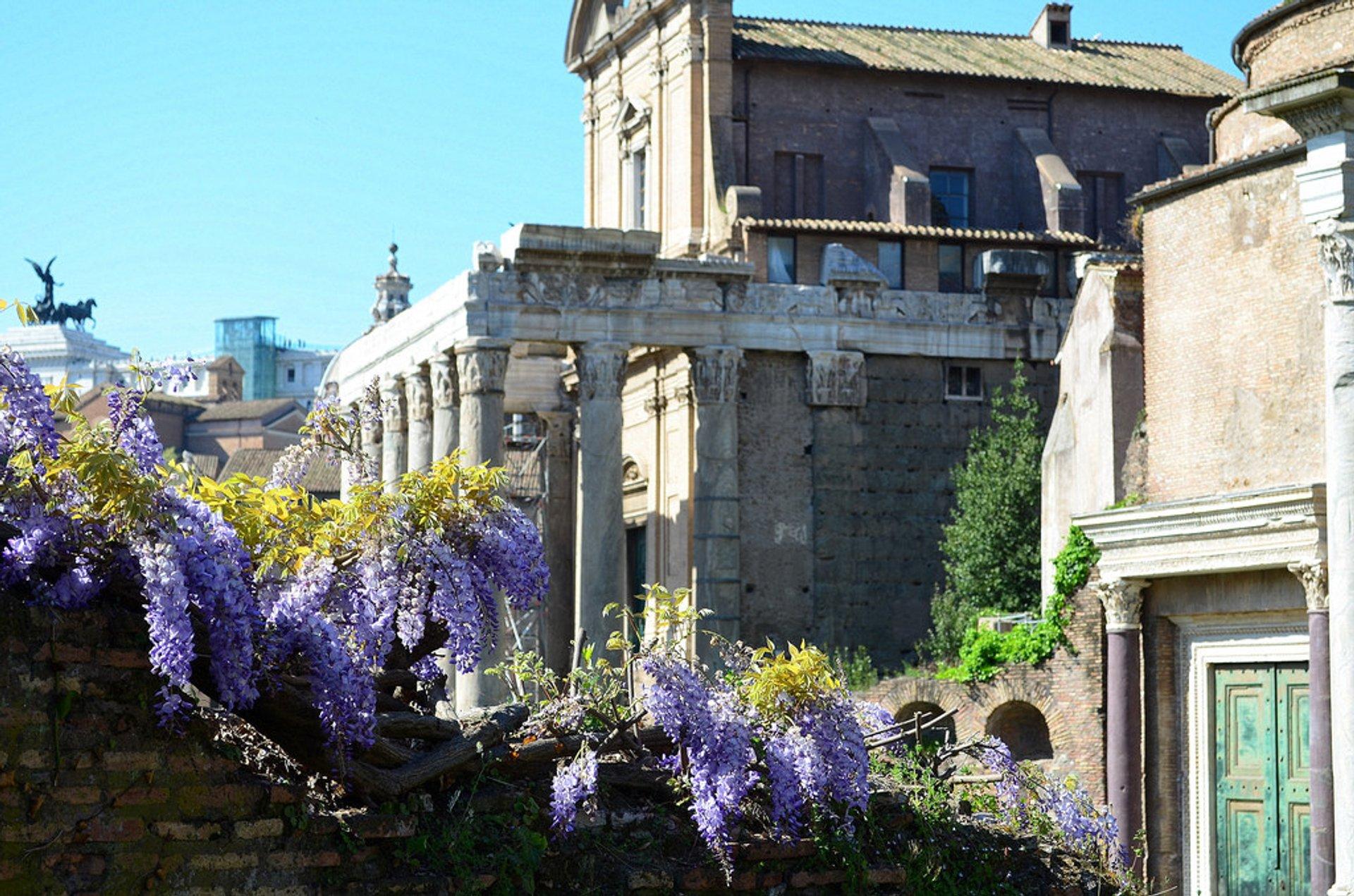Wisteria in Bloom in Rome - Best Time