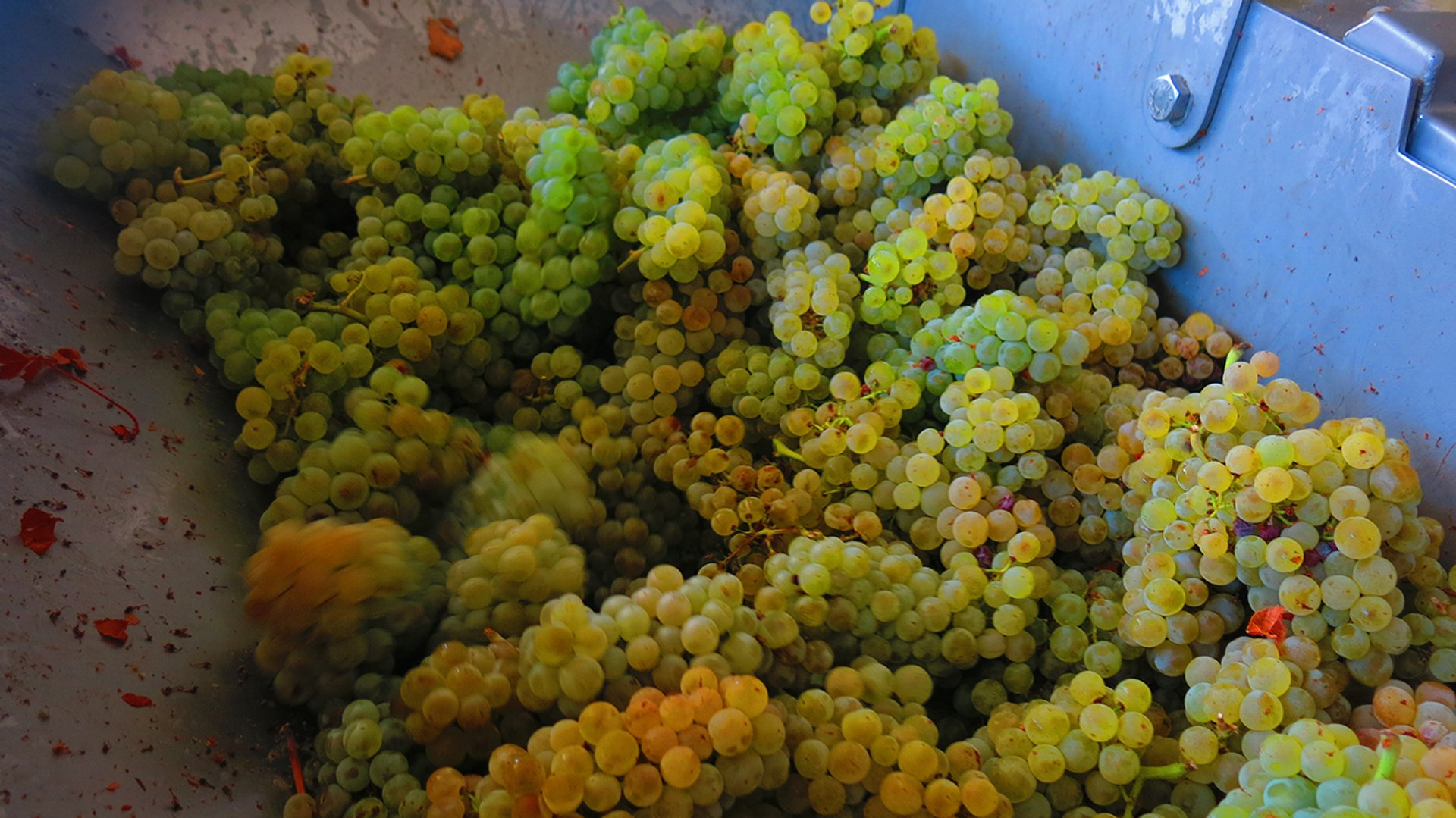 Best time for Grape Harvest in Cyprus 2019