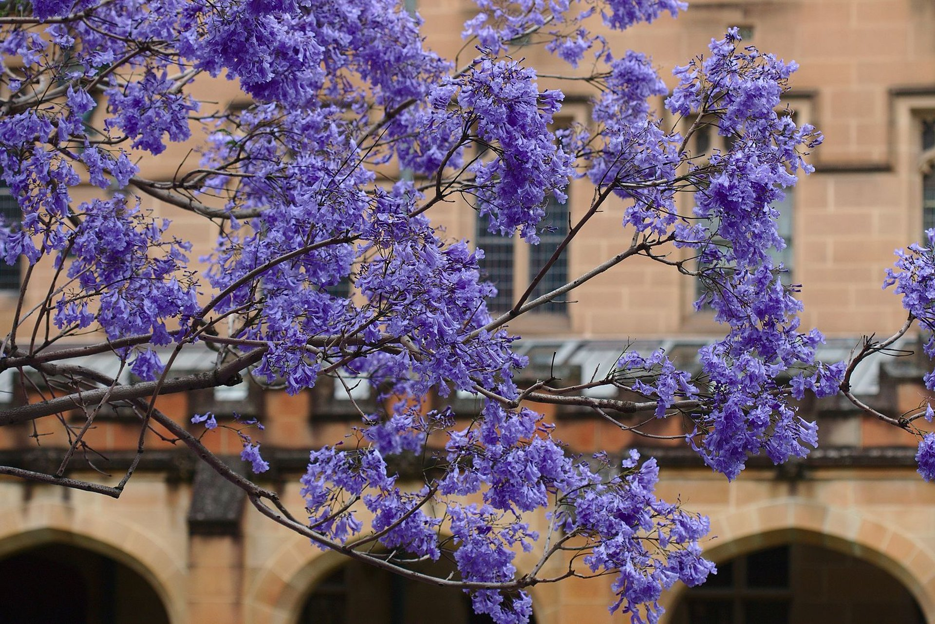 Jacaranda Trees in Bloom in Sydney - Best Season