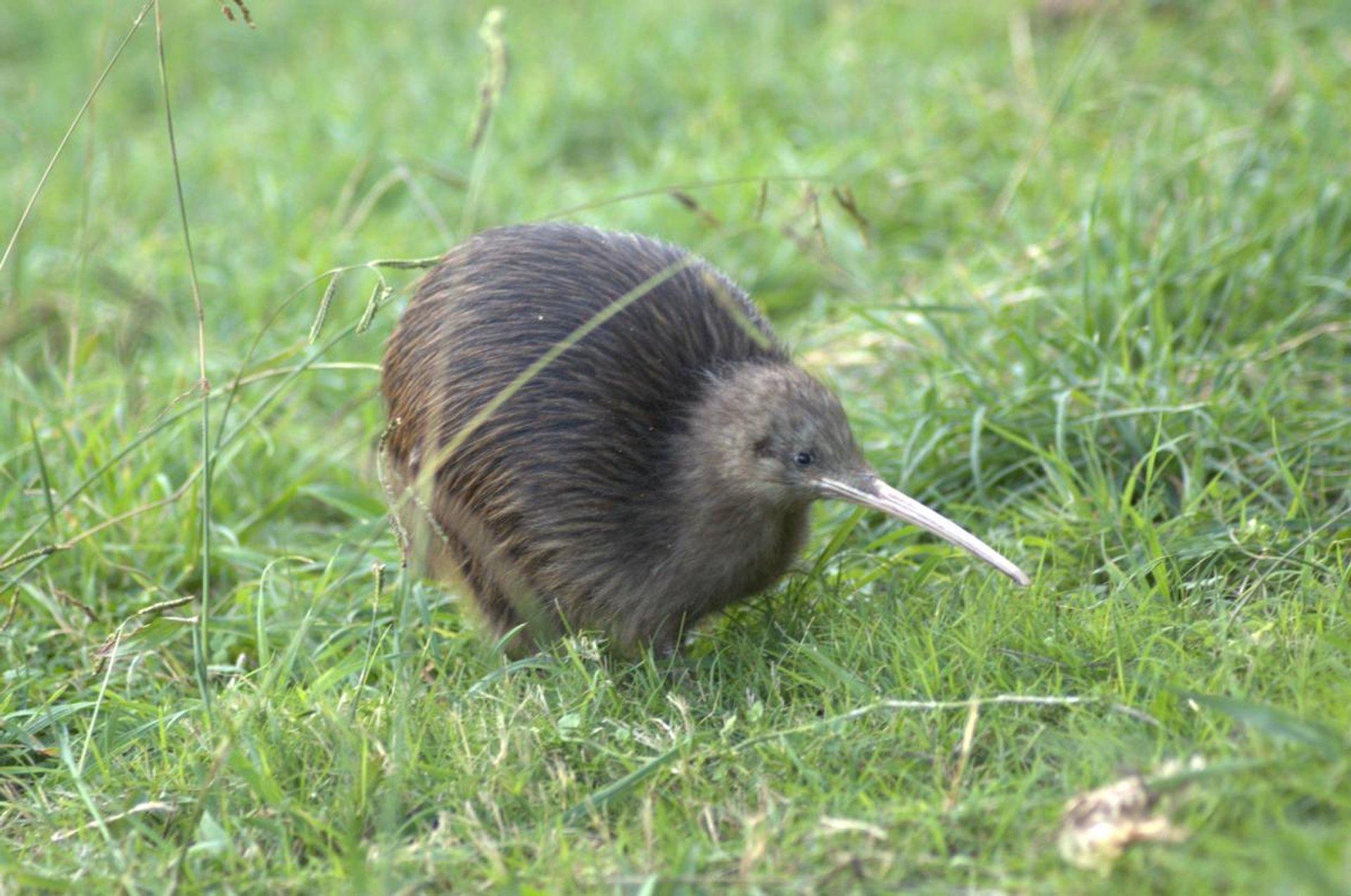 Kiwis' Breeding Season in New Zealand - Best Time
