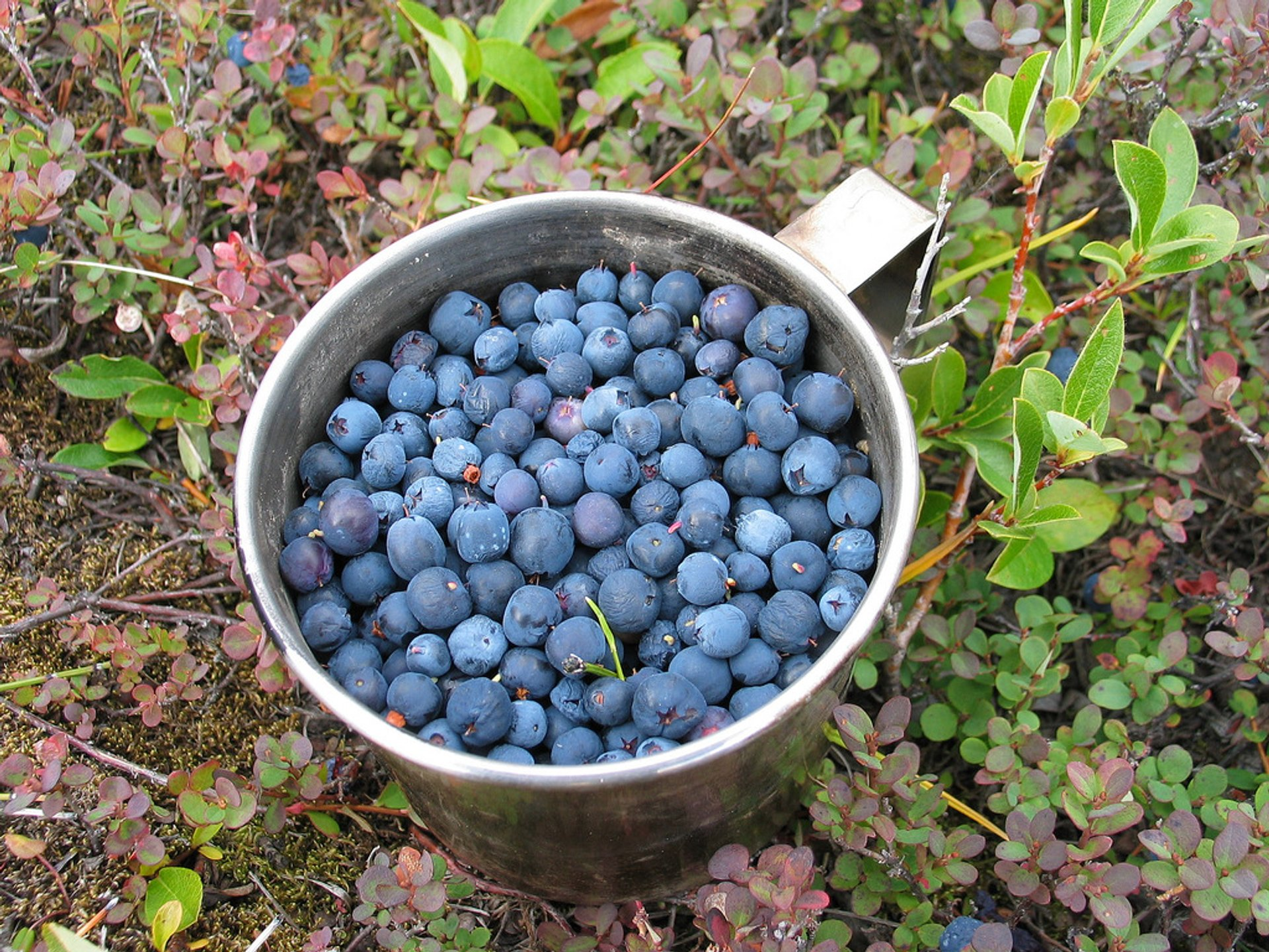 Wild Berry Season in Greenland 2019 - Best Time